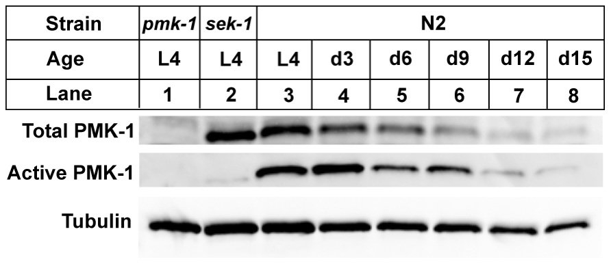 A gradual reduction in the levels of total and activated PMK-1 protein throughout adulthood in <i>C. elegans</i>.