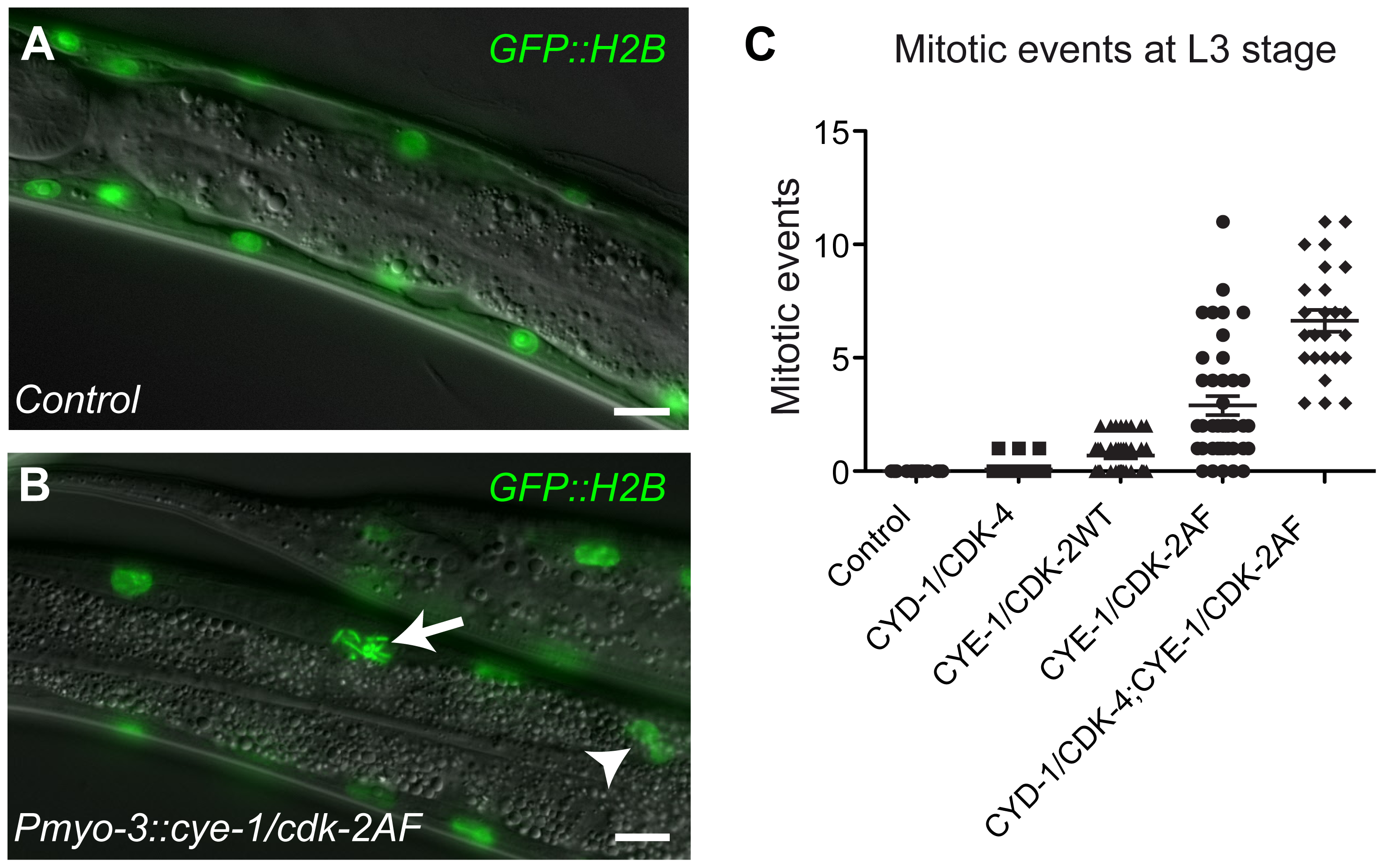 G1 Cyclin/CDK expression induces mitotic events in body-wall muscle cells.