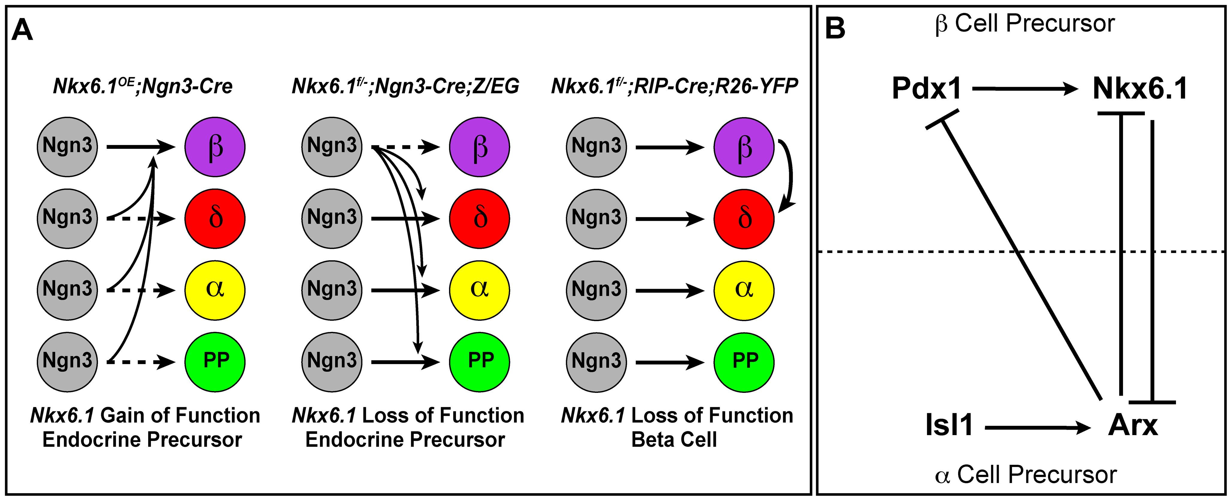Model of Nkx6.1 function in endocrine precursor cells.