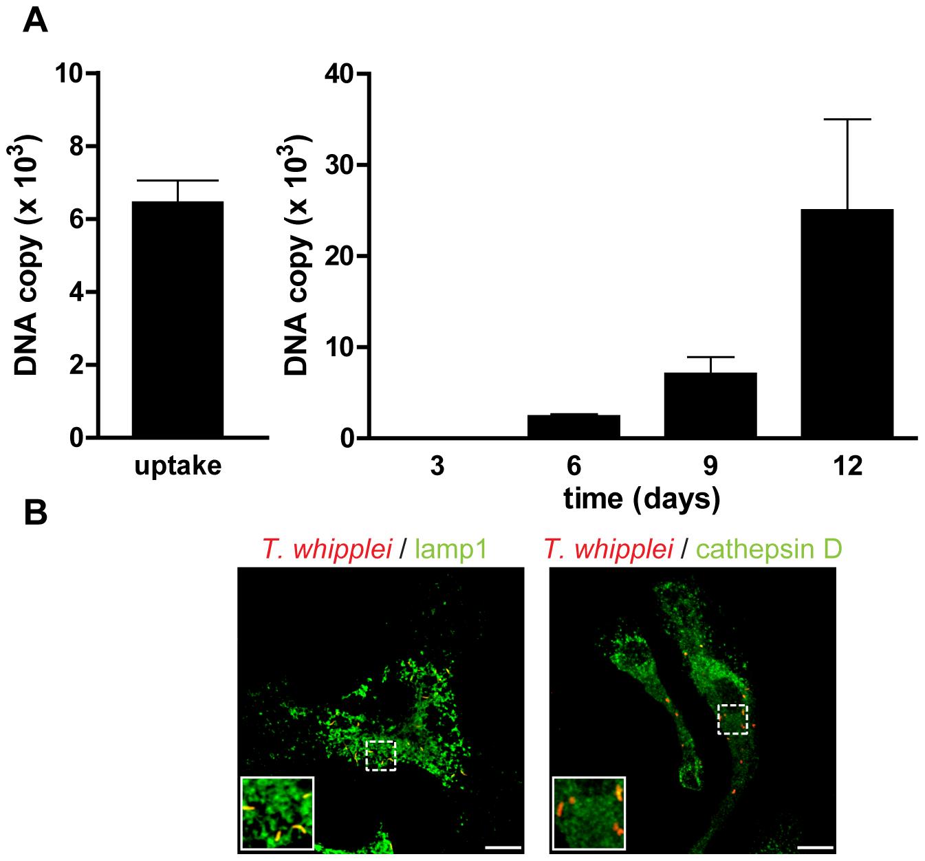 <i>T. whipplei</i> replicates in BMDM.