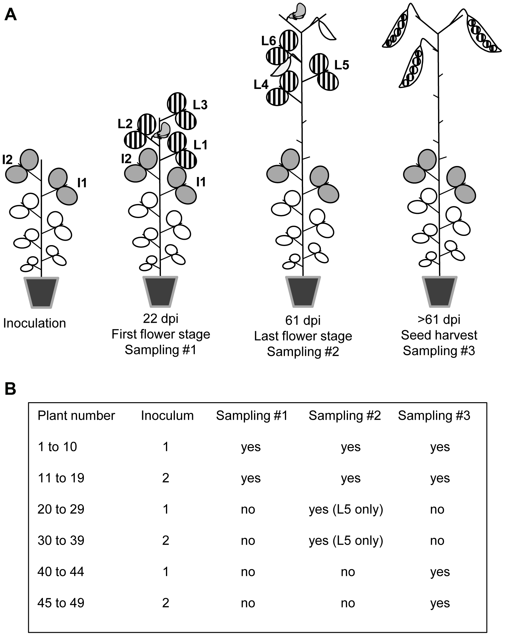 Virus sampling design for pea plants inoculated with PSbMV.