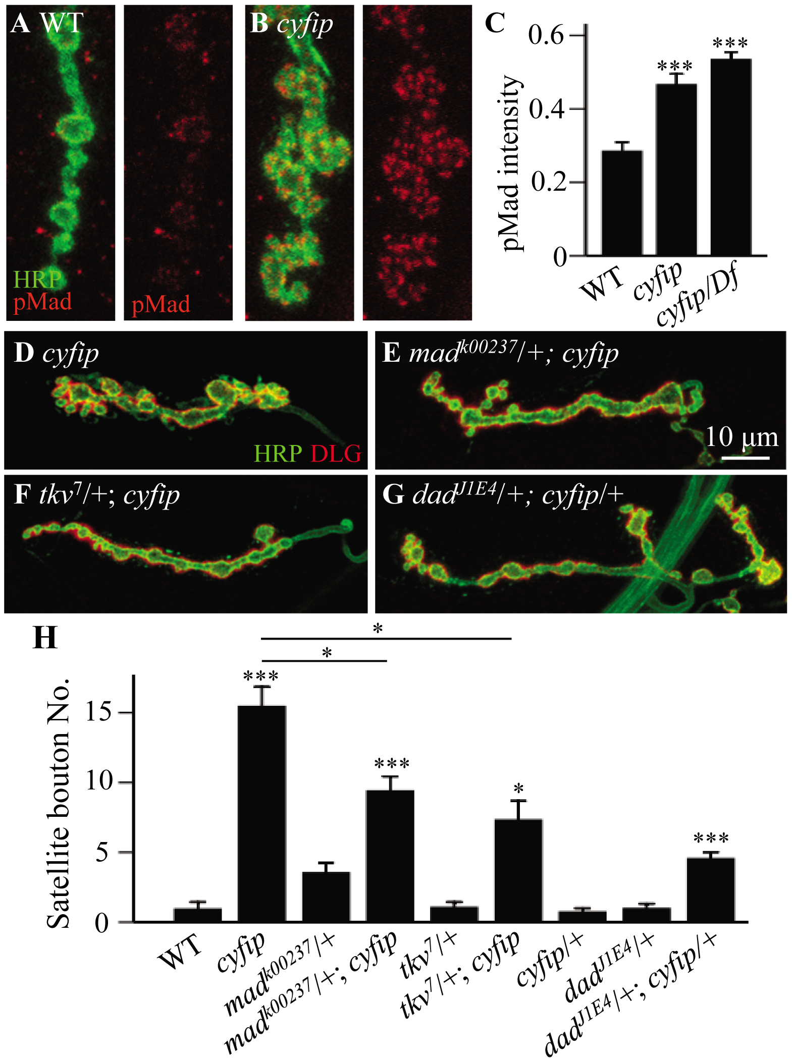 The excess satellite bouton formation in <i>cyfip</i> mutants depends on elevated BMP signaling.