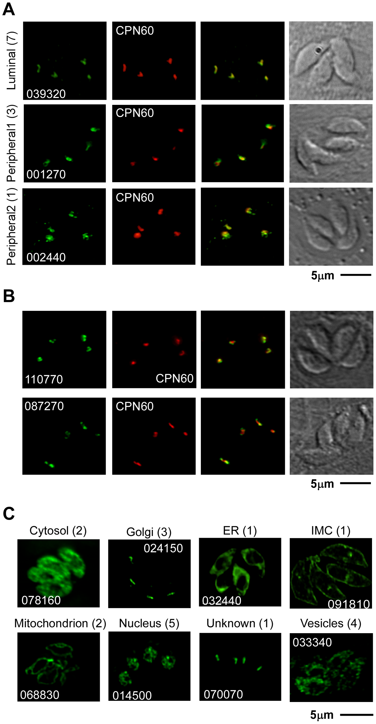 Localization of 30 previously uncharacterized proteins by endogenous epitope tagging.