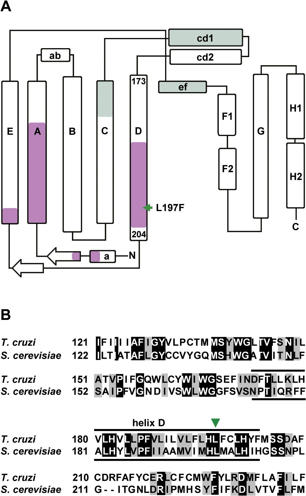 GNF7686 resistance-conferring mutation in <i>T</i>. <i>cruzi</i> cytochrome <i>b</i> structure.