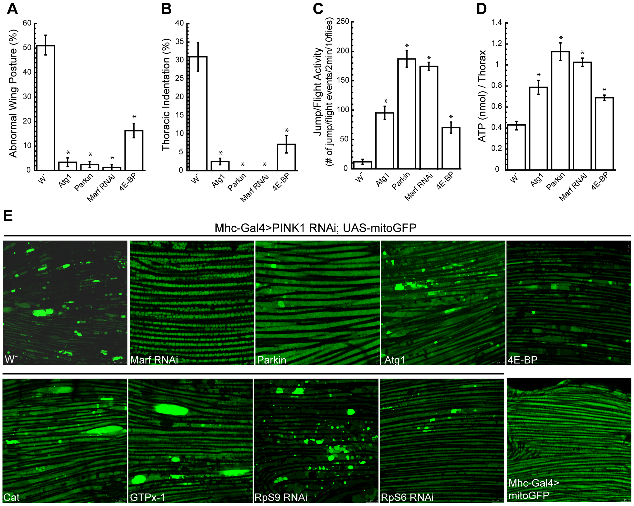 Overexpression of Atg1 rescues <i>PINK1</i> mutant phenotypes.