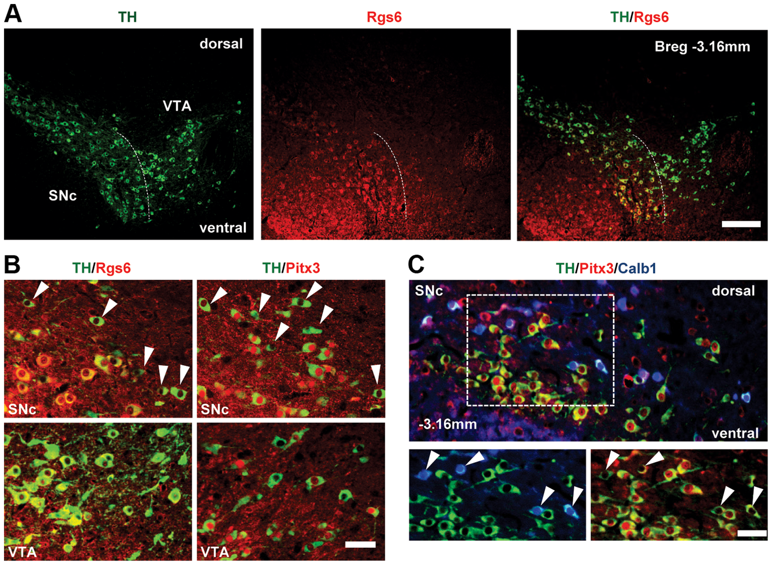 Restricted expression of Rgs6 in Pitx3-positive (Pitx3+) dopaminergic neurons of ventral SNc.