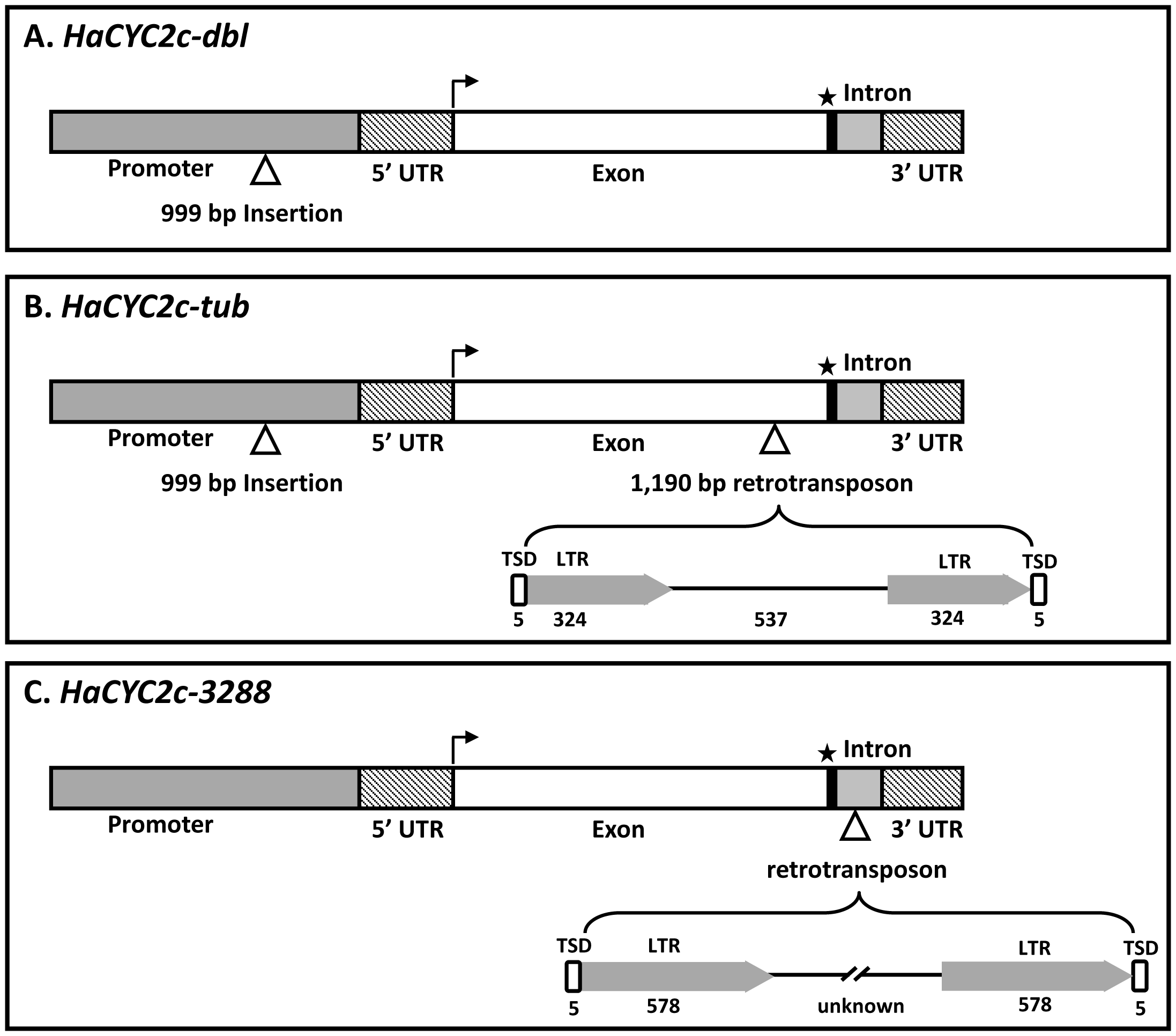 Schematic diagram of the mutant alleles of <i>HaCYC2c</i>.