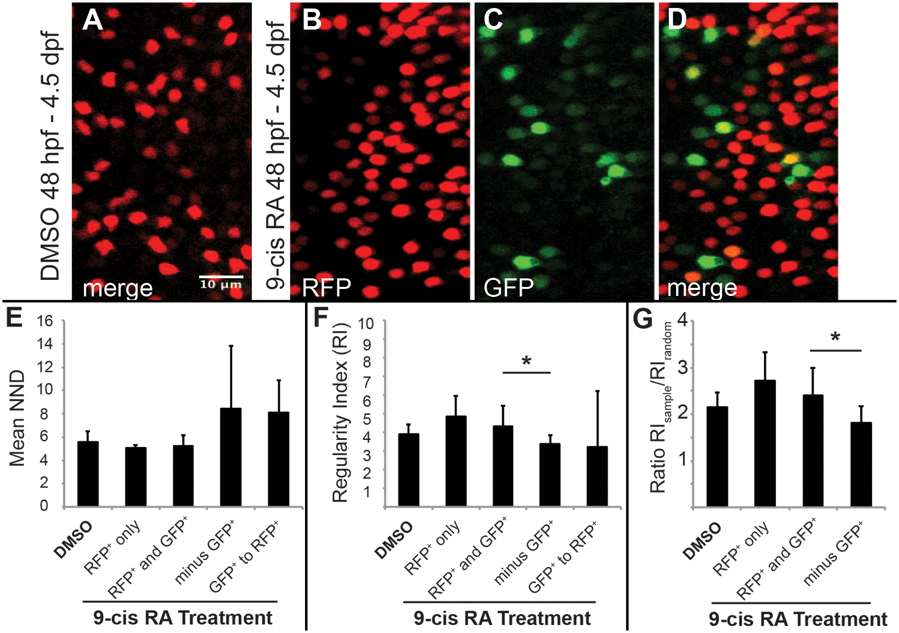 Two-dimensional pattern analysis of LWS cones in <i>LWS</i>:<i>PAC(H)</i> embryos exposed to RA: Retinoic acid induced LWS1-expressing cones do not disrupt the LWS2 cone mosaic.