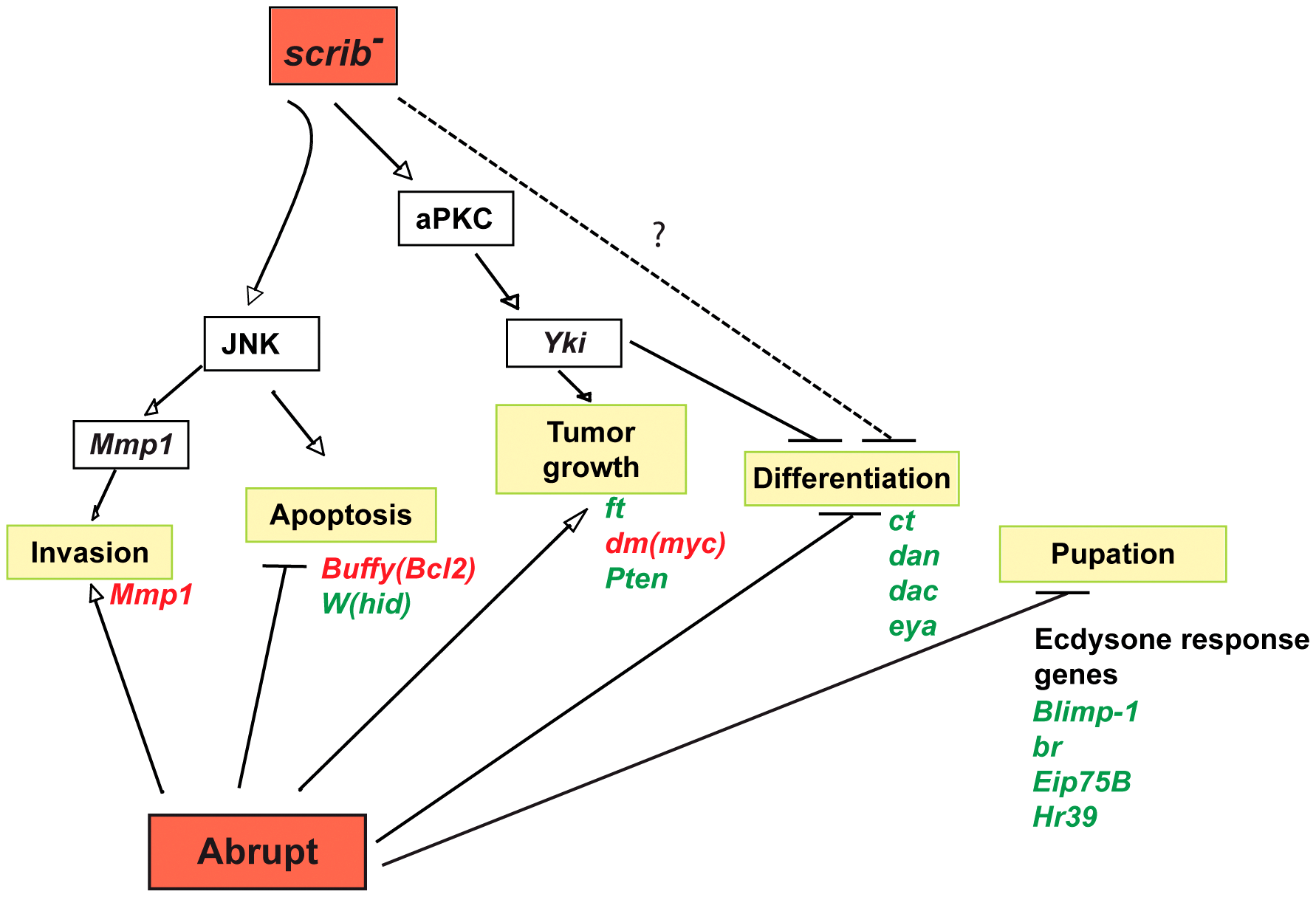 Model illustrating the pathways involved in <i>scrib</i><sup>−</sup>+<i>ab</i> cooperative tumour overgrowth.