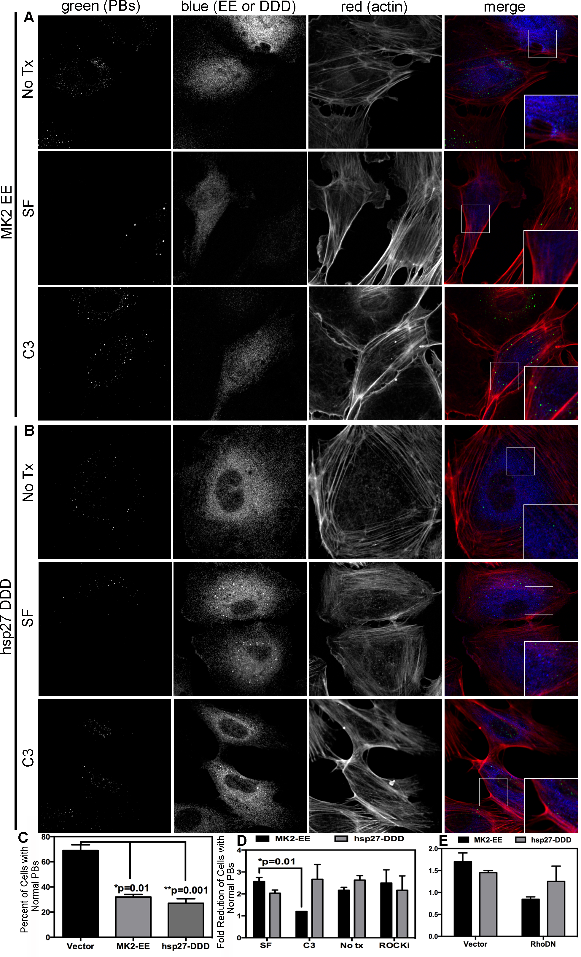 Upstream activators of Rho GTPase (MK2 EE and hsp27 DDD) disrupt p-bodies.