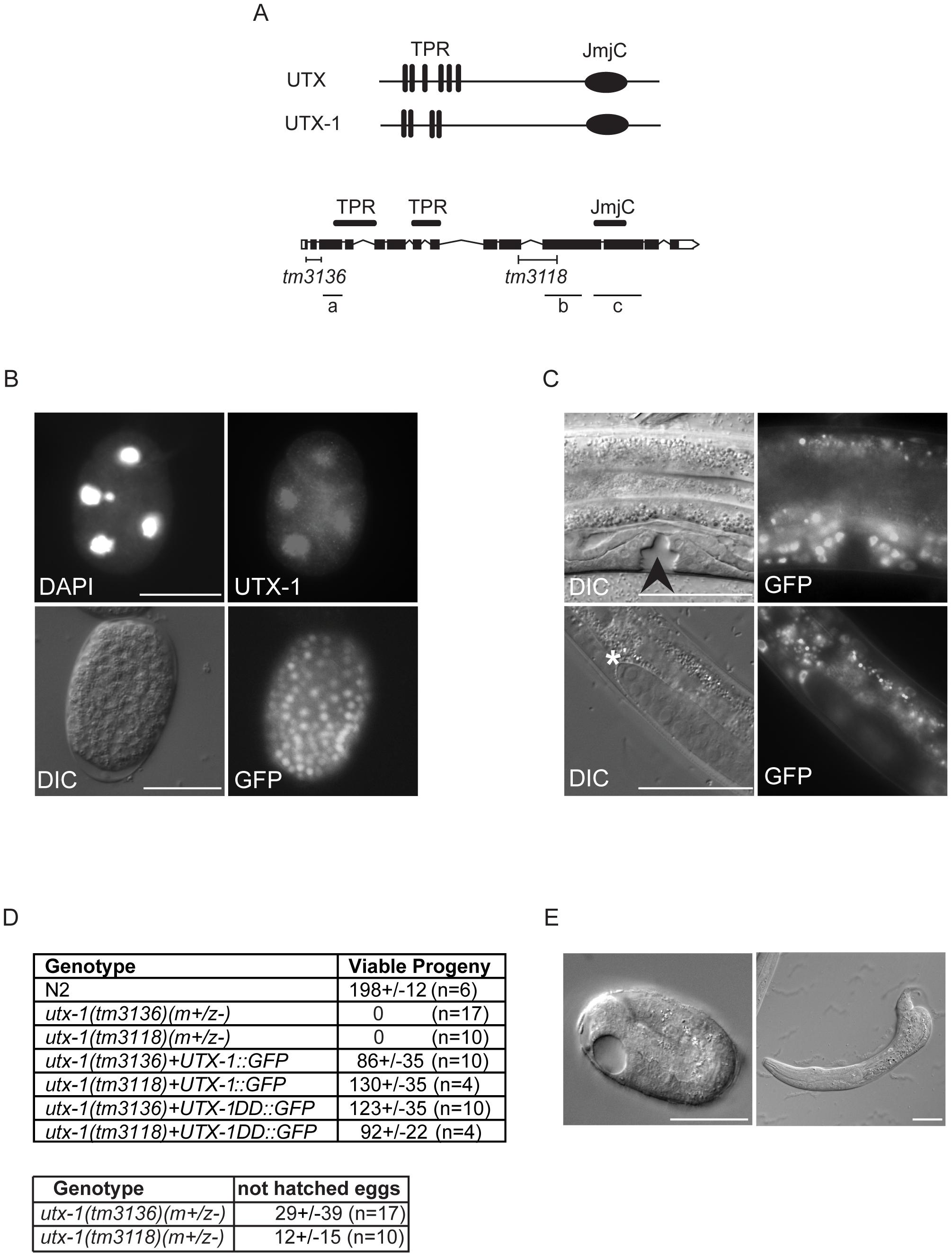 UTX-1 expression and <i>utx-1</i> embryonic phenotypes.