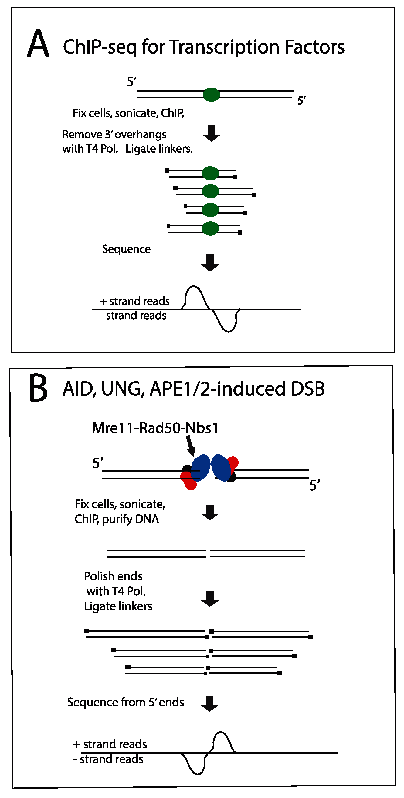 Diagram explaining orientation of +/- strand tags in ChIP-Seq.