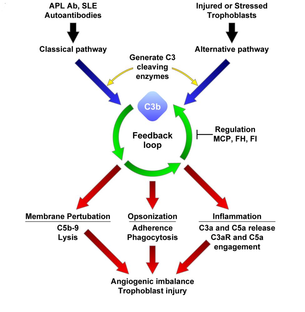 Complement activation in preeclampsia.