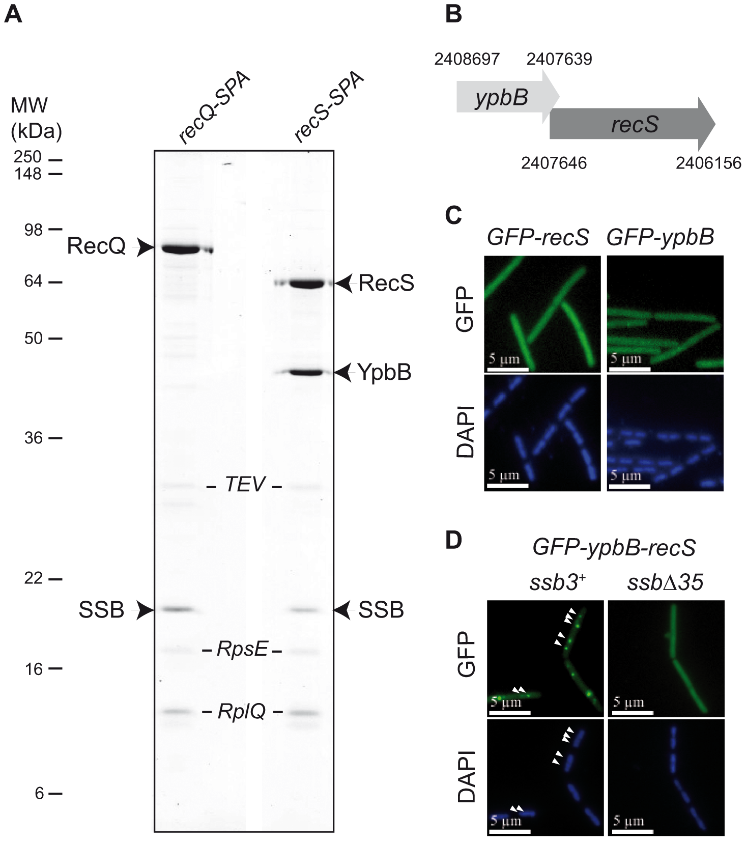 RecS assembles with YpbB into a complex targeted to active chromosomal replication forks <i>via</i> the SSB<sub>Cter</sub>.