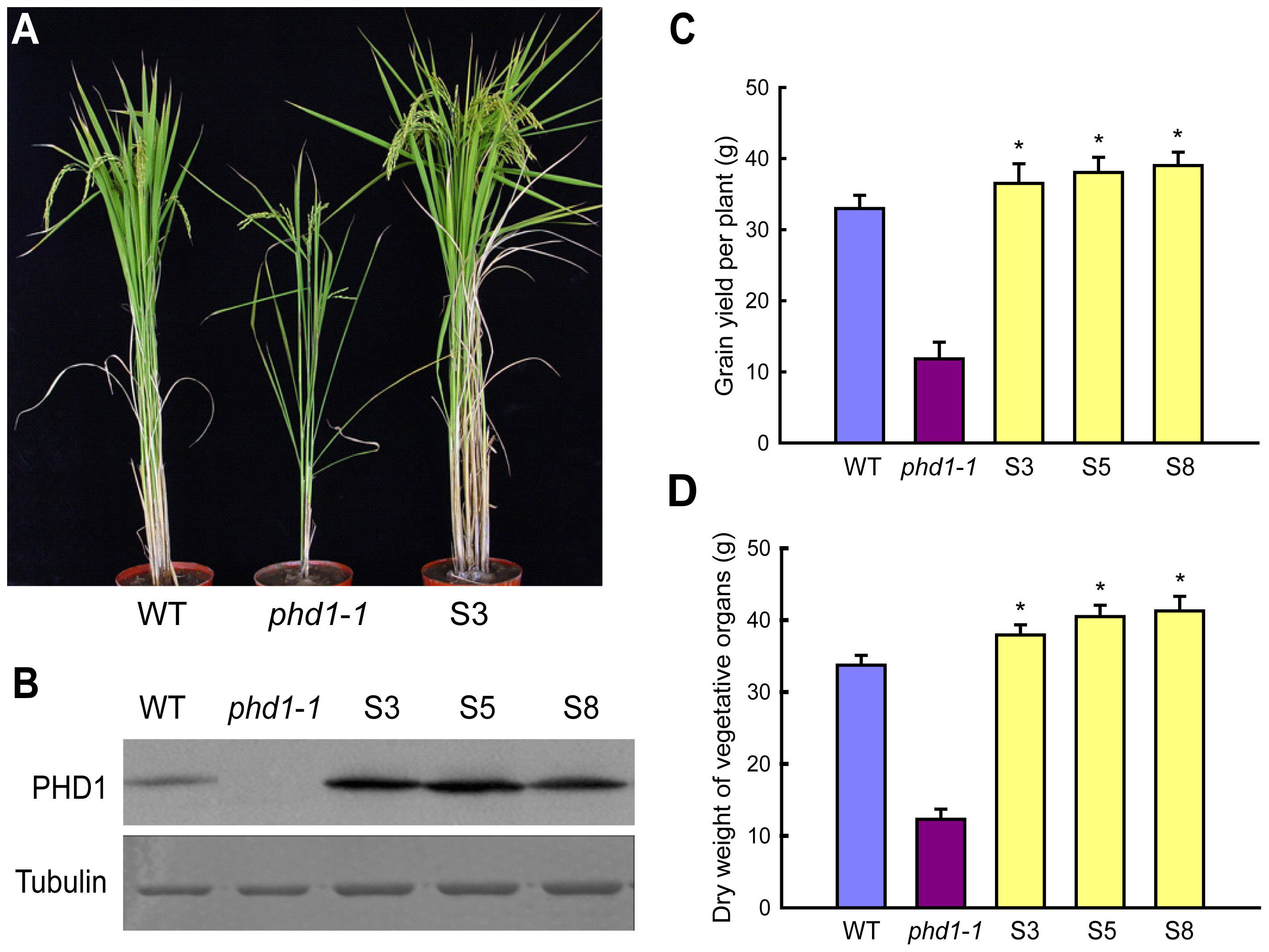 Agricultural traits of transgenic rice lines overexpressing <i>PHD1</i>.