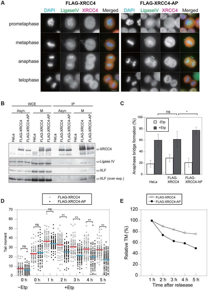 Phosphorylation of XRCC4 at S326 is involved in suppression of DSB repair during M-phase.