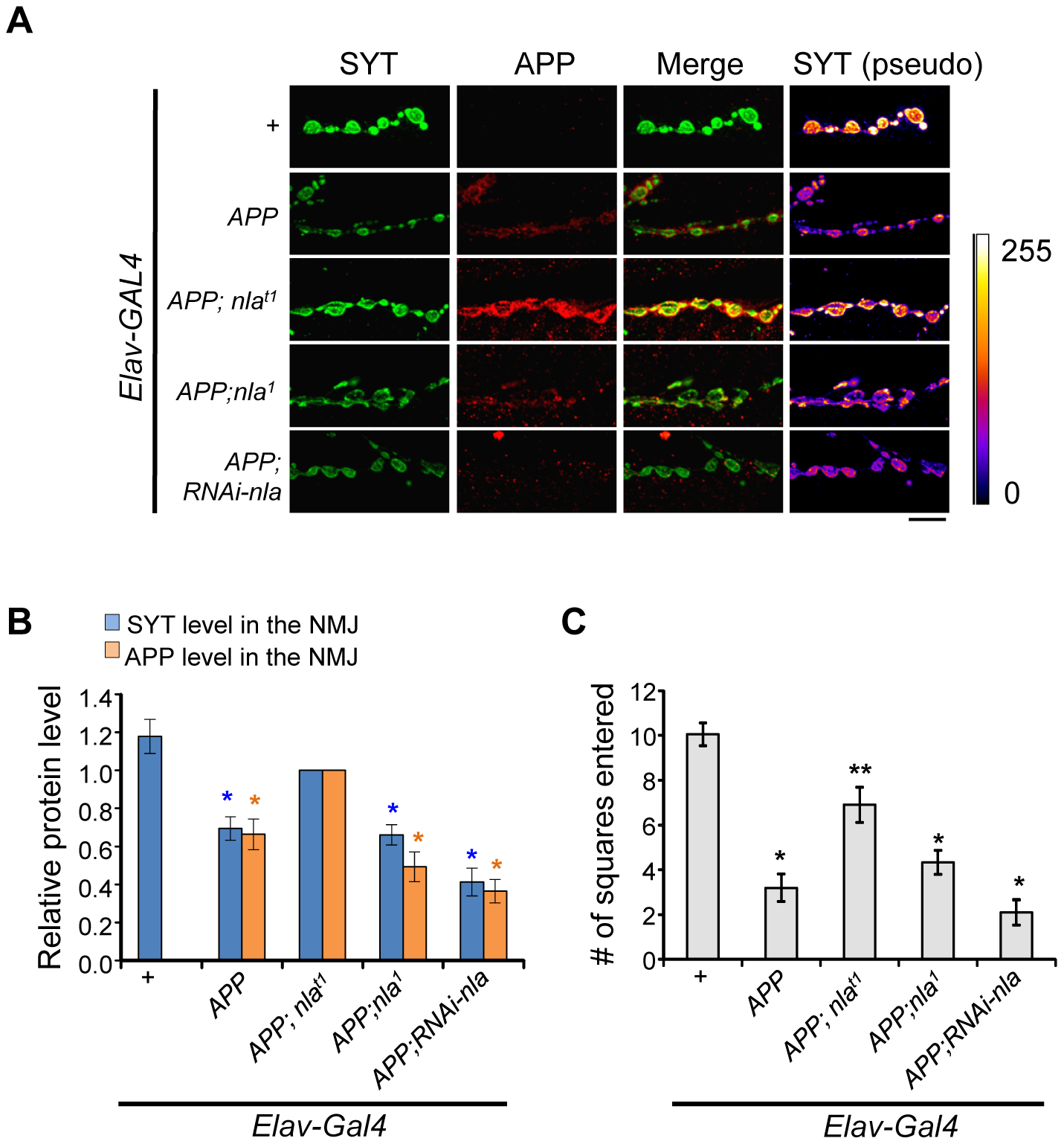 Nebula overexpression restores synaptotagmin level and enhances APP delivery to the synaptic terminals.