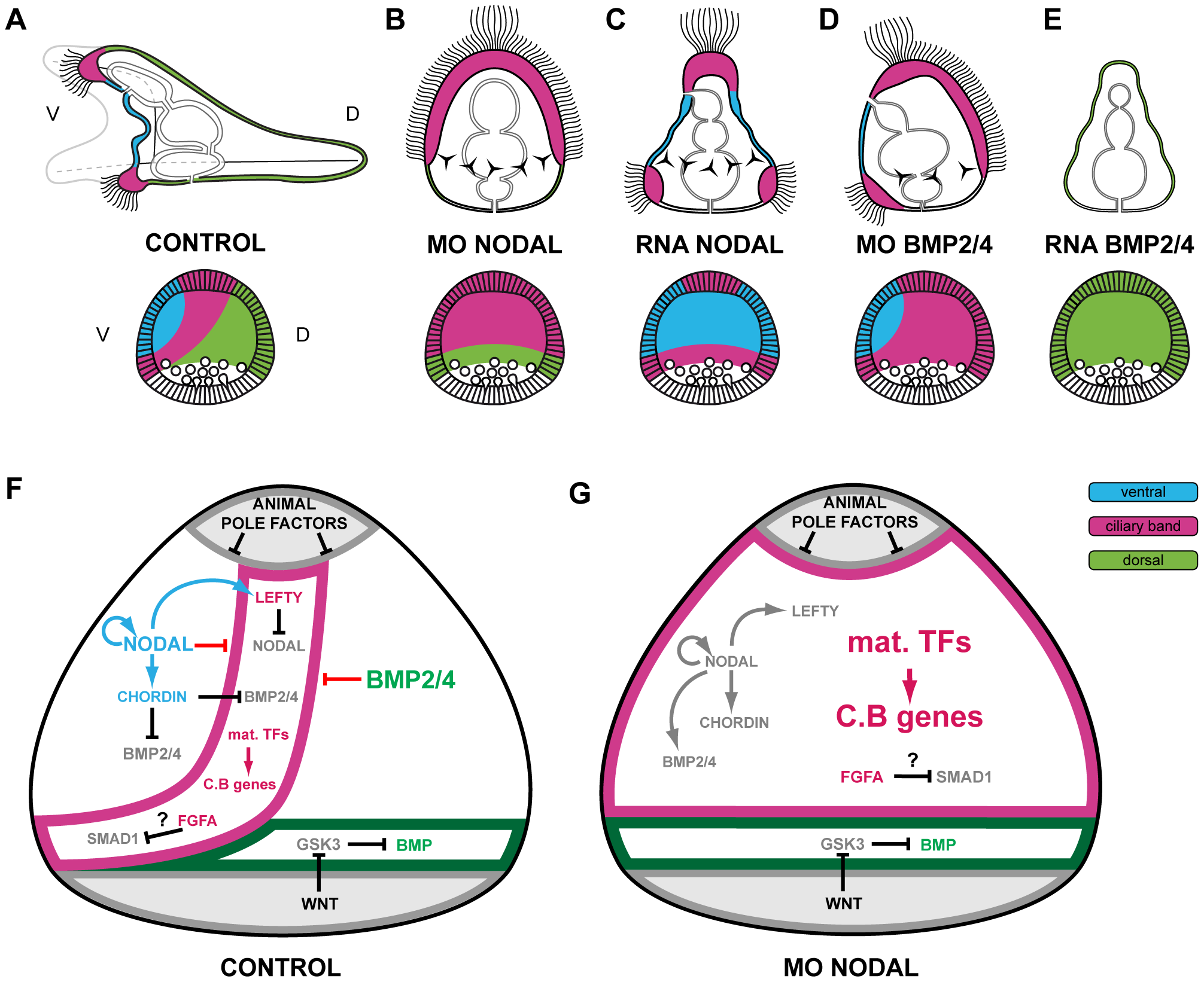 Changes in identity of ectodermal territories following perturbations of Nodal or BMP signaling and novel model of ectoderm patterning.