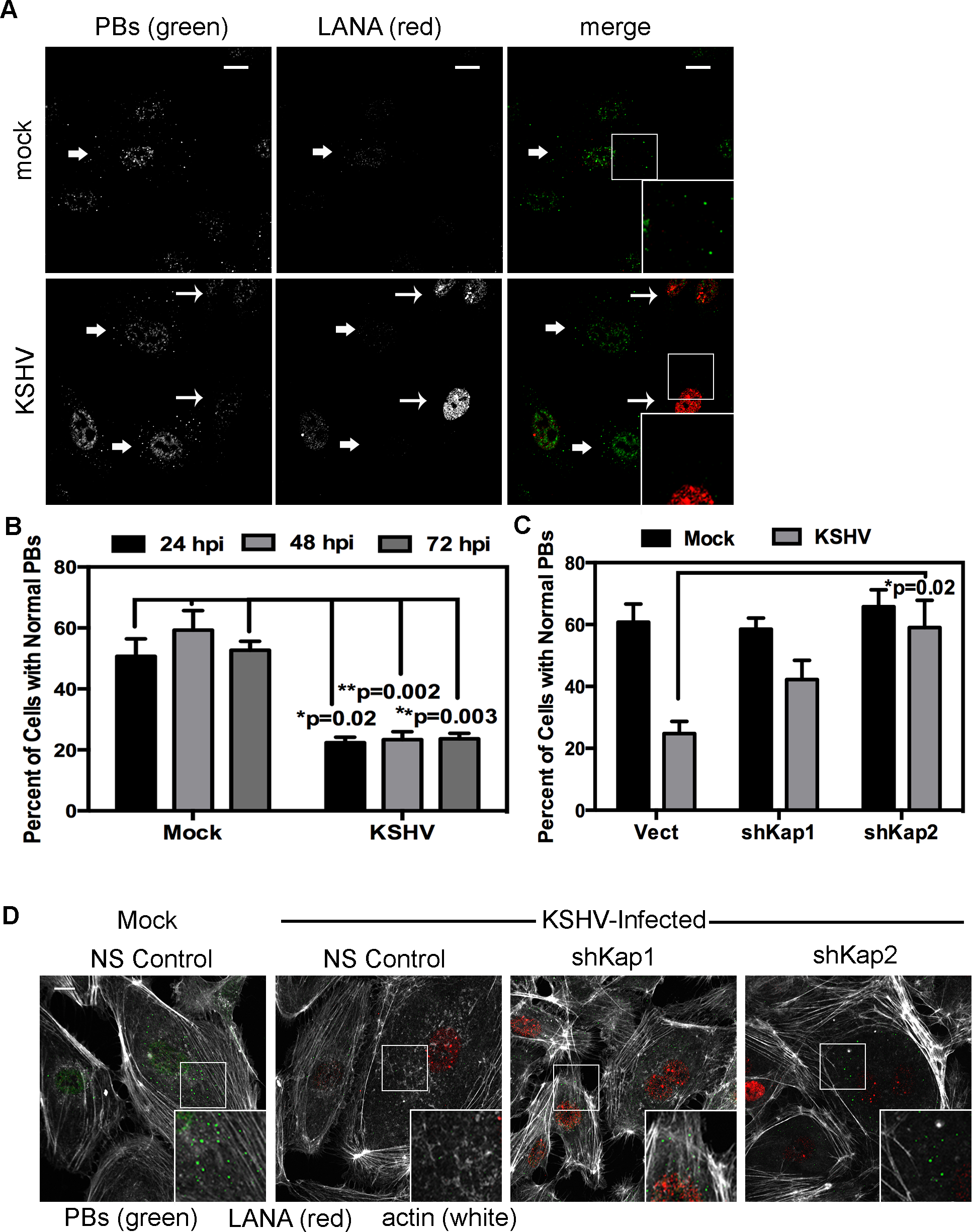 KSHV-mediated p-body dispersion in latently infected endothelial cells requires kaposin expression.