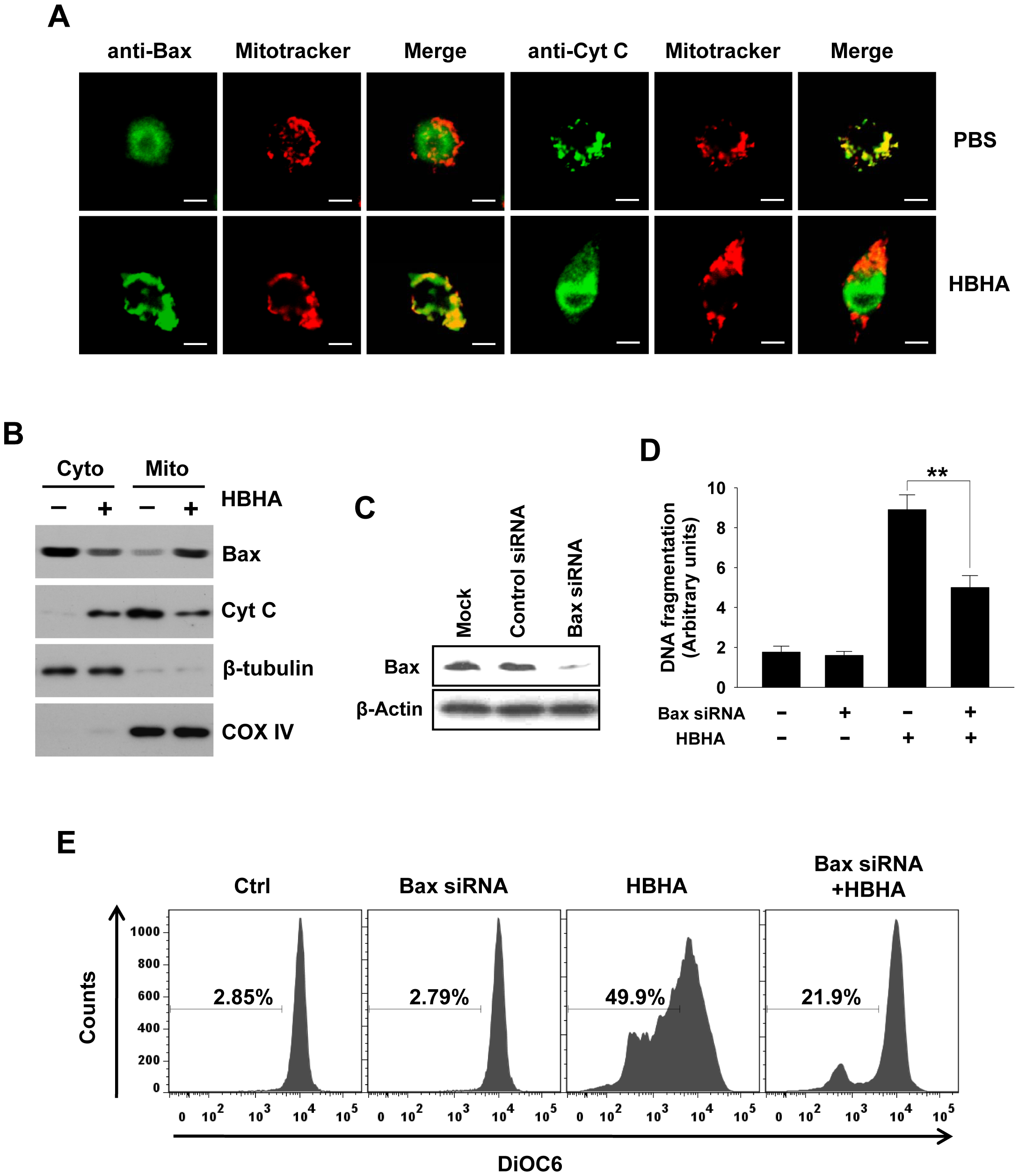 Bax translocation and cytochrome <i>c</i> release by HBHA treatment in macrophages.