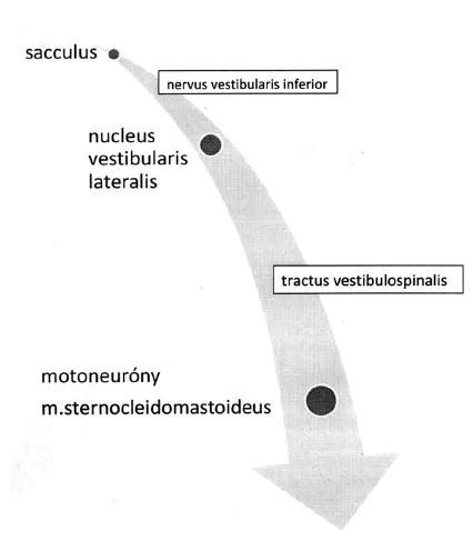 Schéma vestibulokolického reflexu.