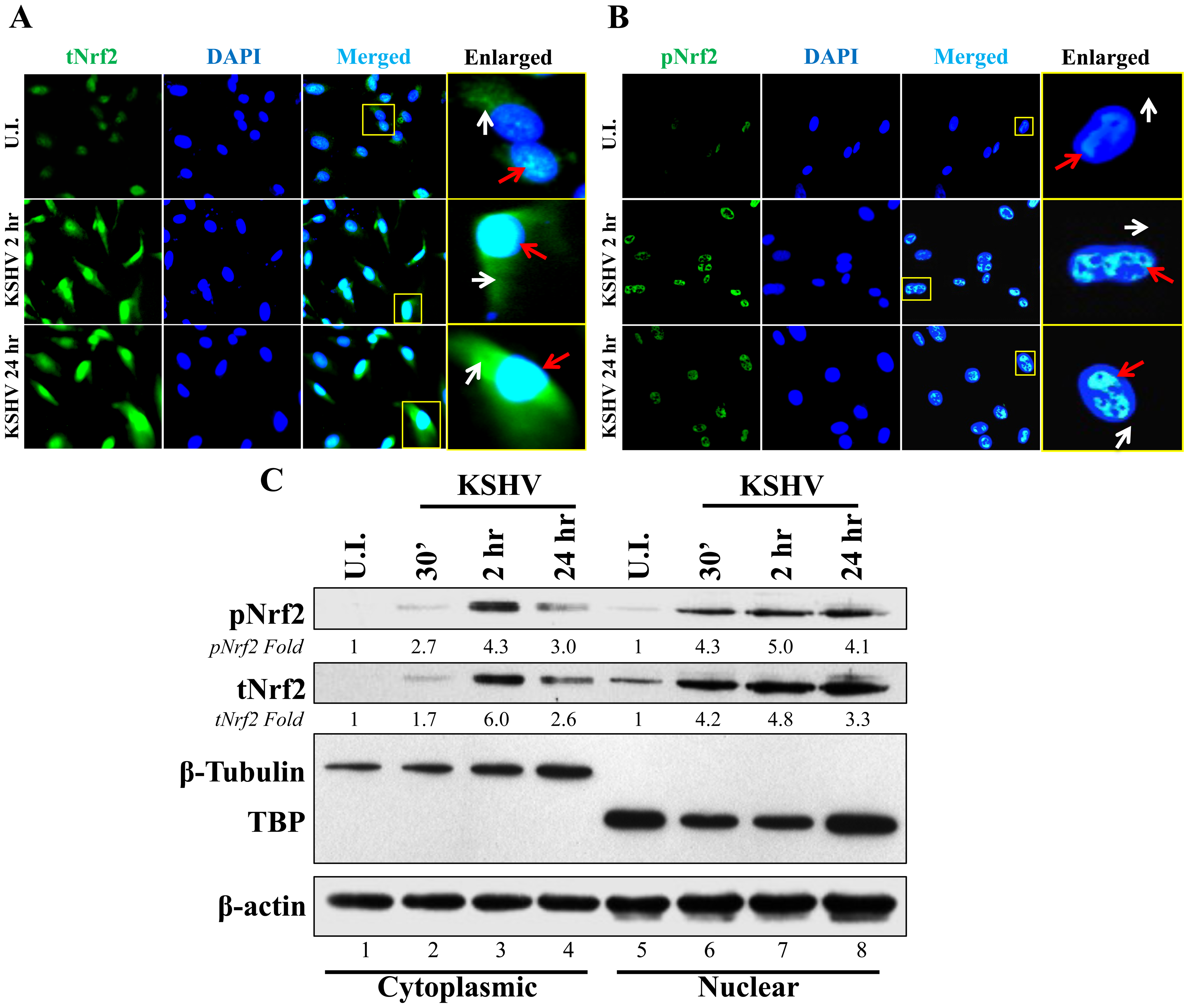 Nuclear localization of Nrf2 during KSHV infection.