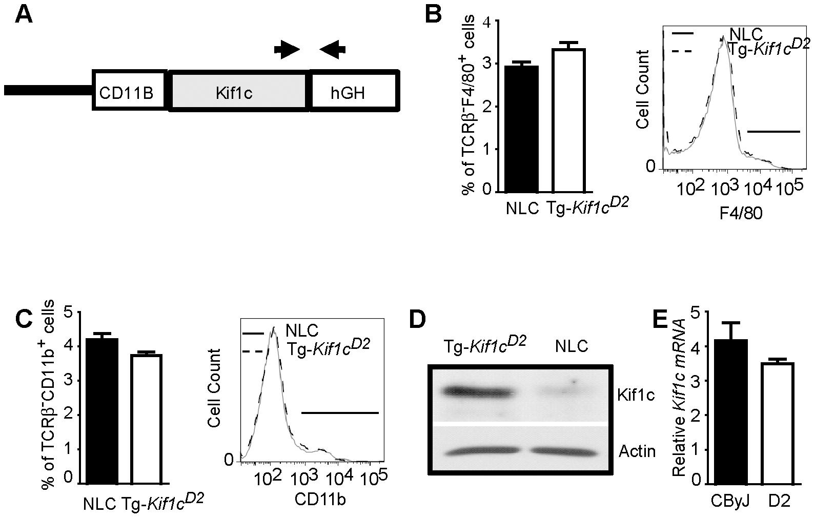 Generation of BALB/cByJ-<i>CD11B</i>-<i>Kif1c<sup>D2</sup></i> transgenic (Tg-<i>Kif1c<sup>D2</sup></i>) mice.