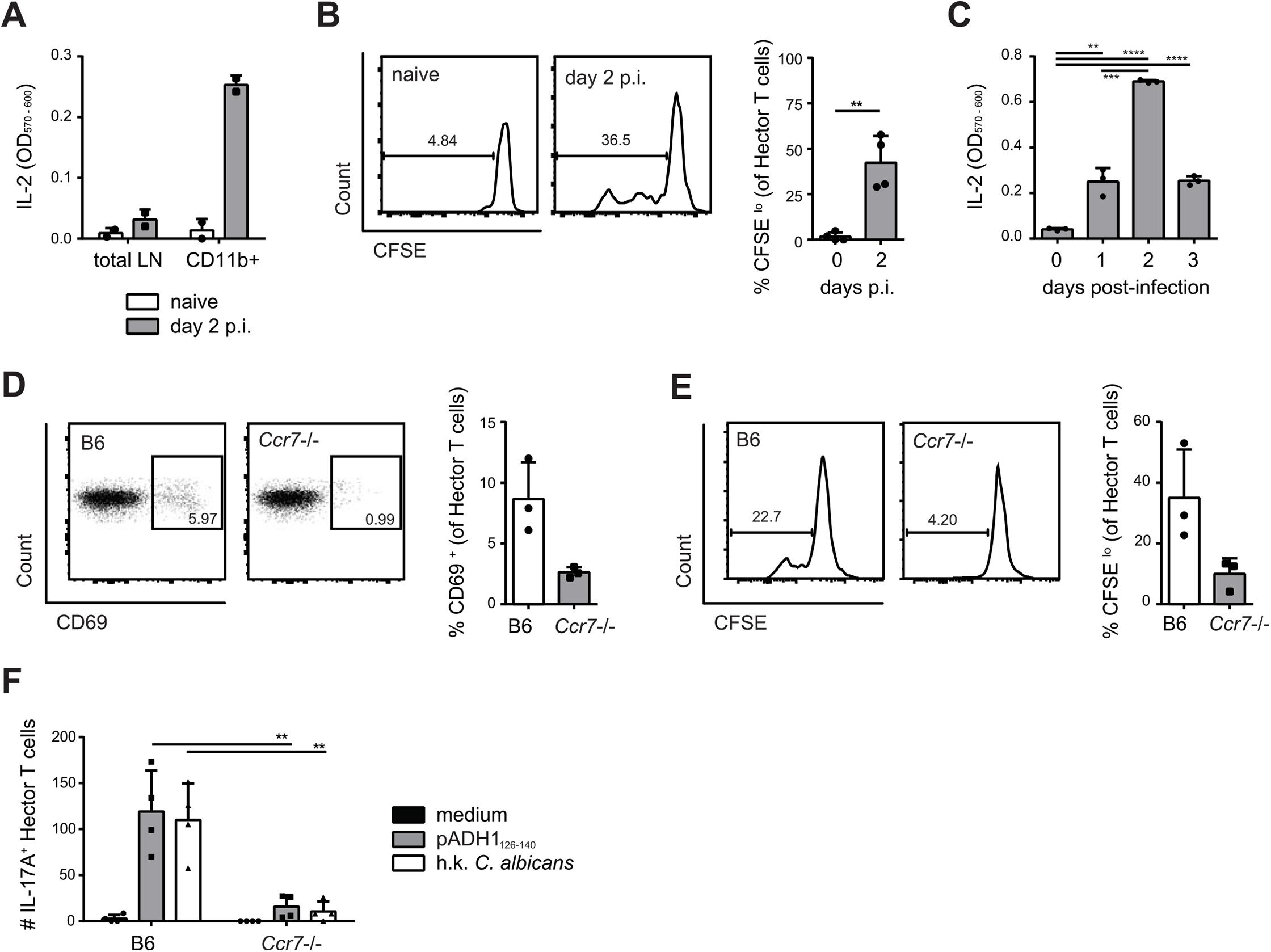 Transport of <i>C</i>. <i>albicans</i>-derived antigen to the cervical lymph nodes is CCR7-dependent.