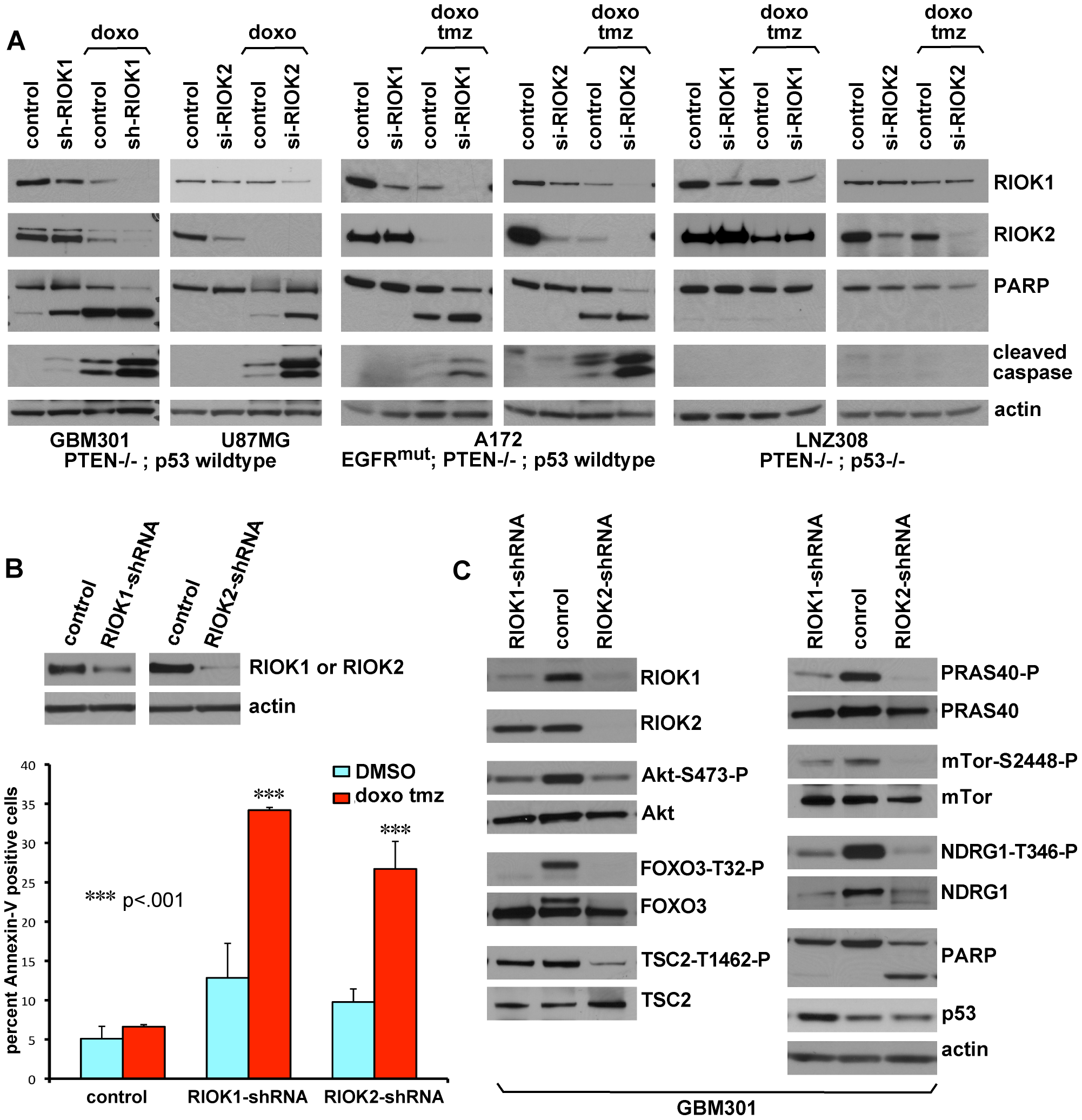 Loss of RIOK1 or RIOK2 function chemosensitizes GBM cells and reduces TORC2-Akt signaling.