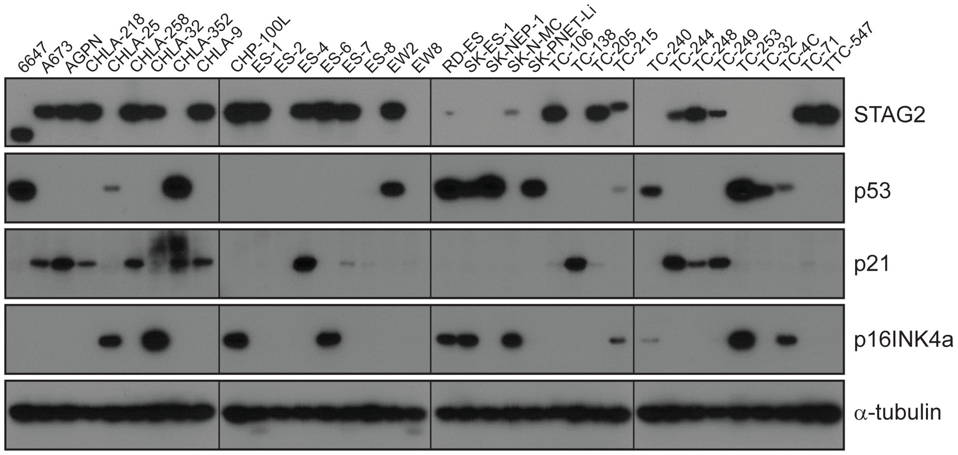 Western blots analysis of STAG2, TP53, p21<sup>WAF1/CIP1</sup>, and p16<sup>INK4a</sup> on a panel of 36 unique EFT cell lines.