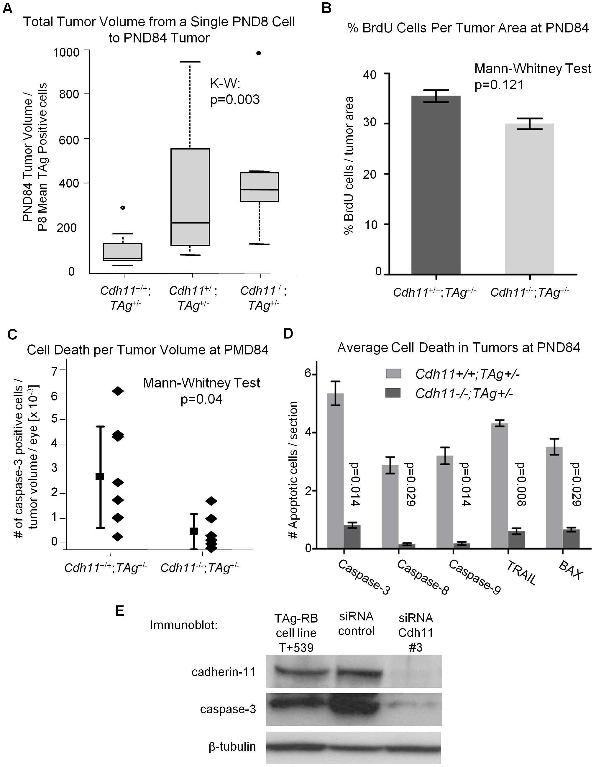 Allelic loss of <i>Cdh11</i> led to faster growing tumors due to decreased cell death.