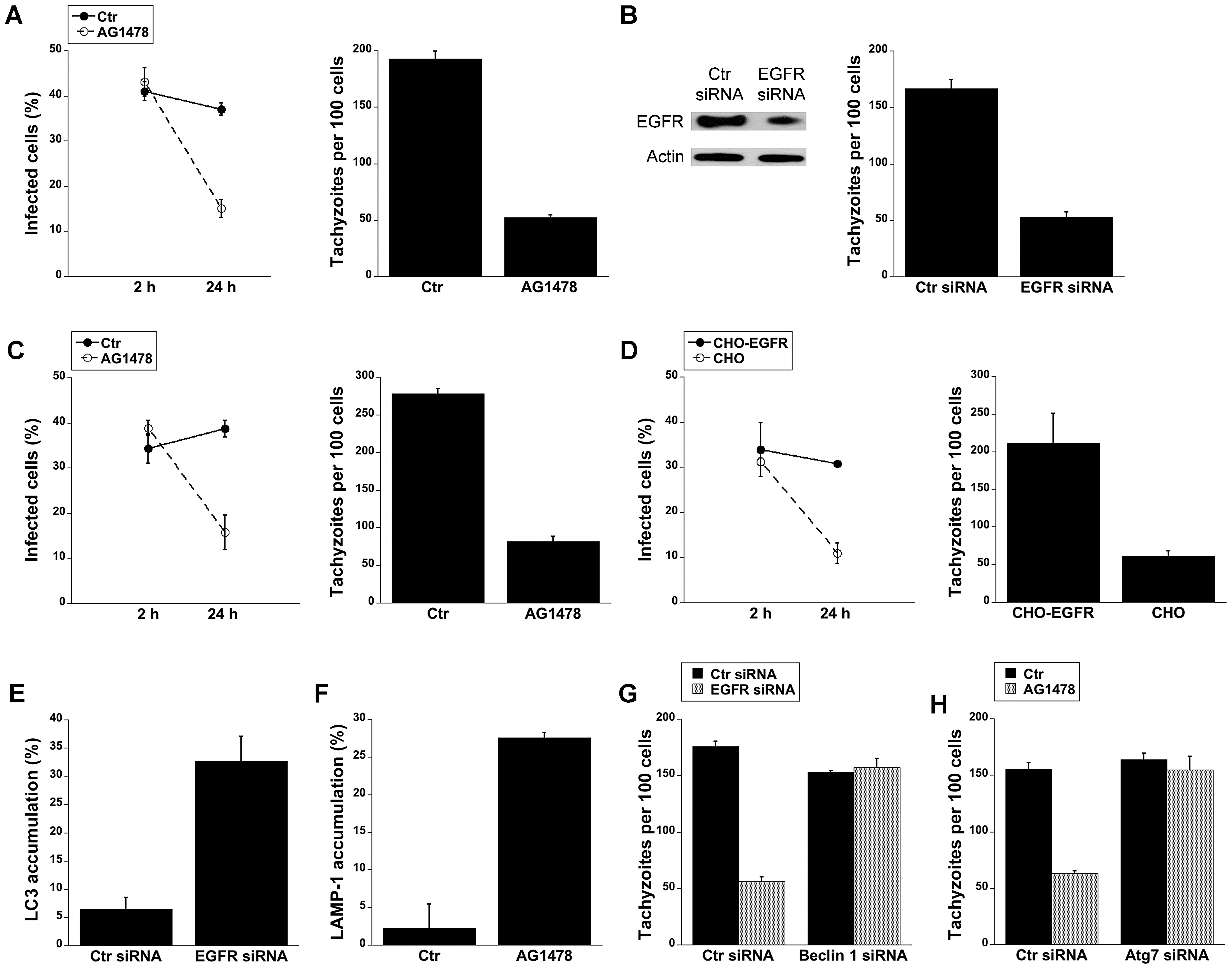 Blockade of EGFR induces accumulation of the autophagy protein LC3 around the parasite, vacuole-lysosome fusion and killing of <i>T. gondii</i> dependent on the autophagy proteins.