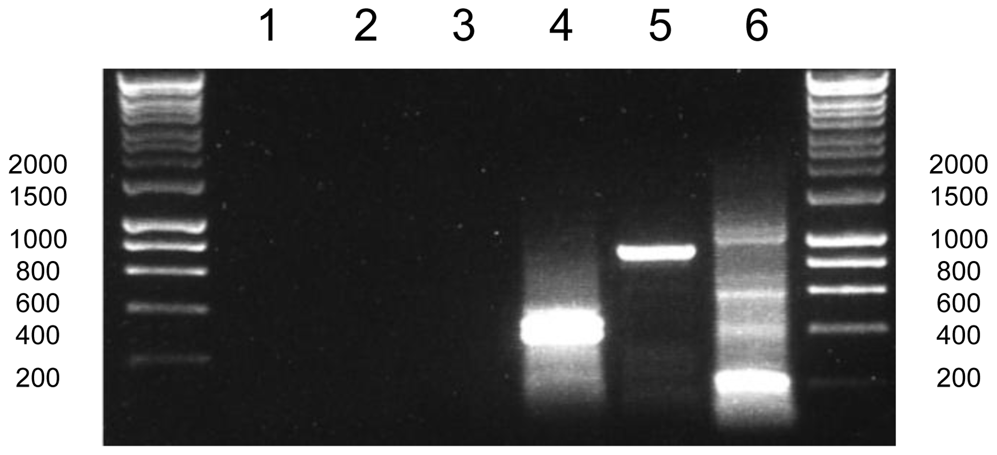 Poly(U) tails are not added to apicoplast transcripts in <i>Plasmodium falciparum</i>.