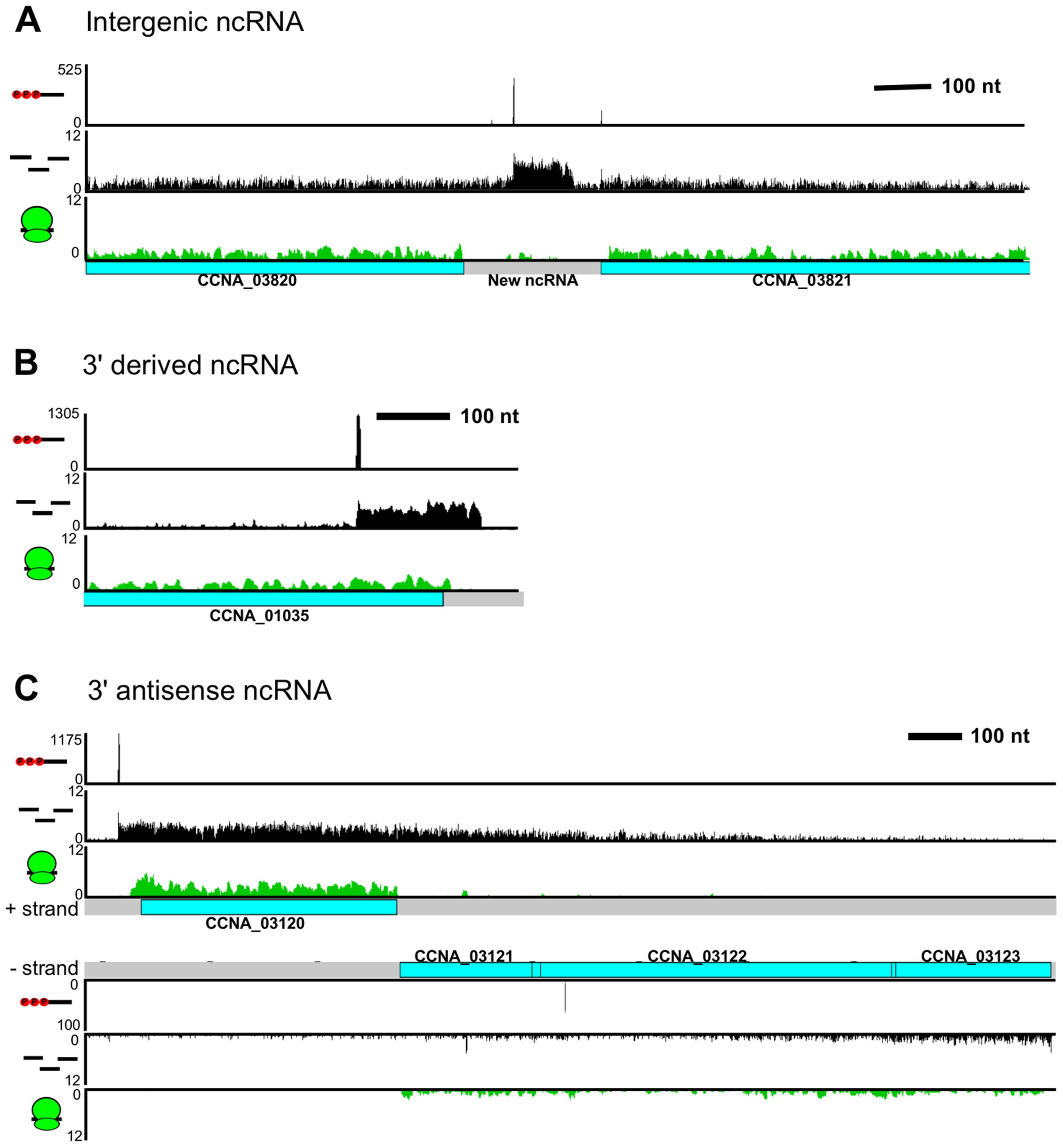 <i>C. crescentus</i> noncoding RNA architecture.