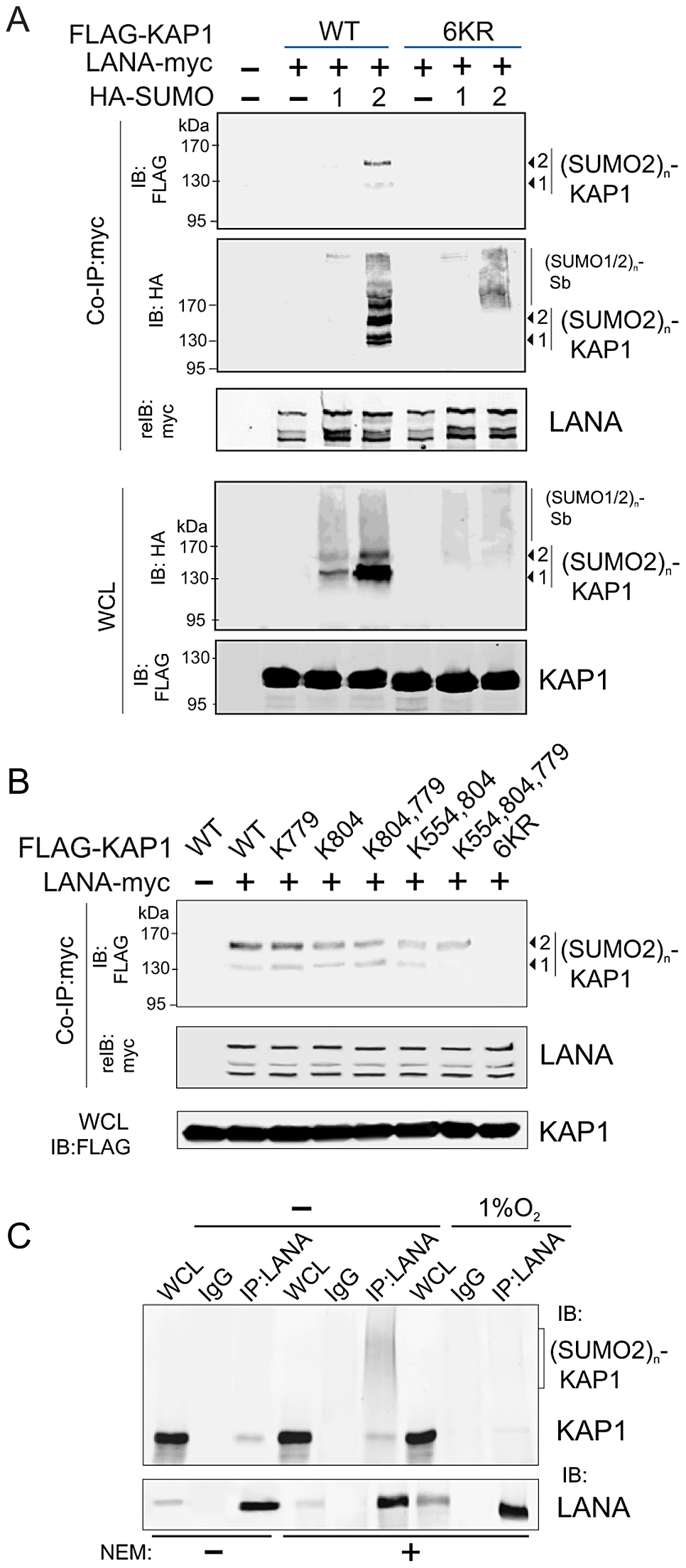 LANA recognizes the poly-SUMO2 modified chain on Lysine 779 and Lysine 804 of KAP1.