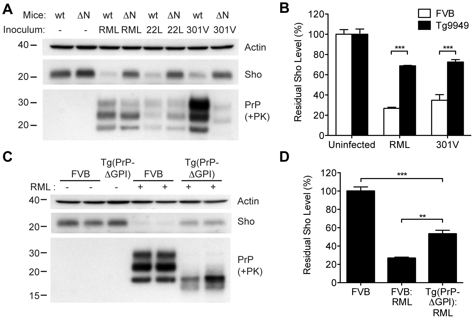 Sho levels in prion-infected Tg mice expressing truncated or anchorless PrP.
