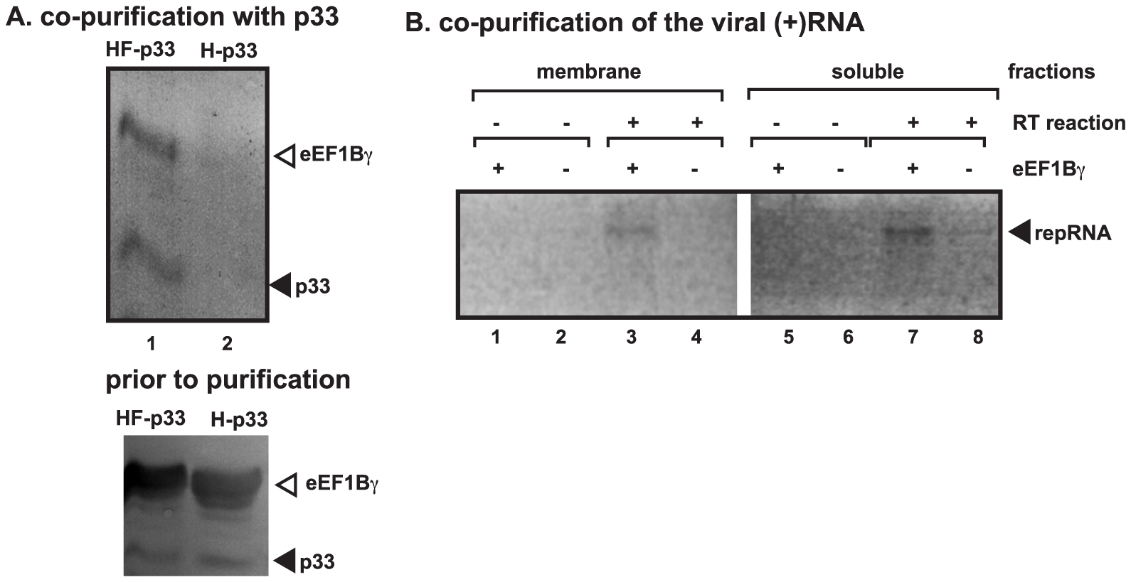 Co-purification of eEF1Bγ with the p33 replication protein and the viral RNA from yeast.