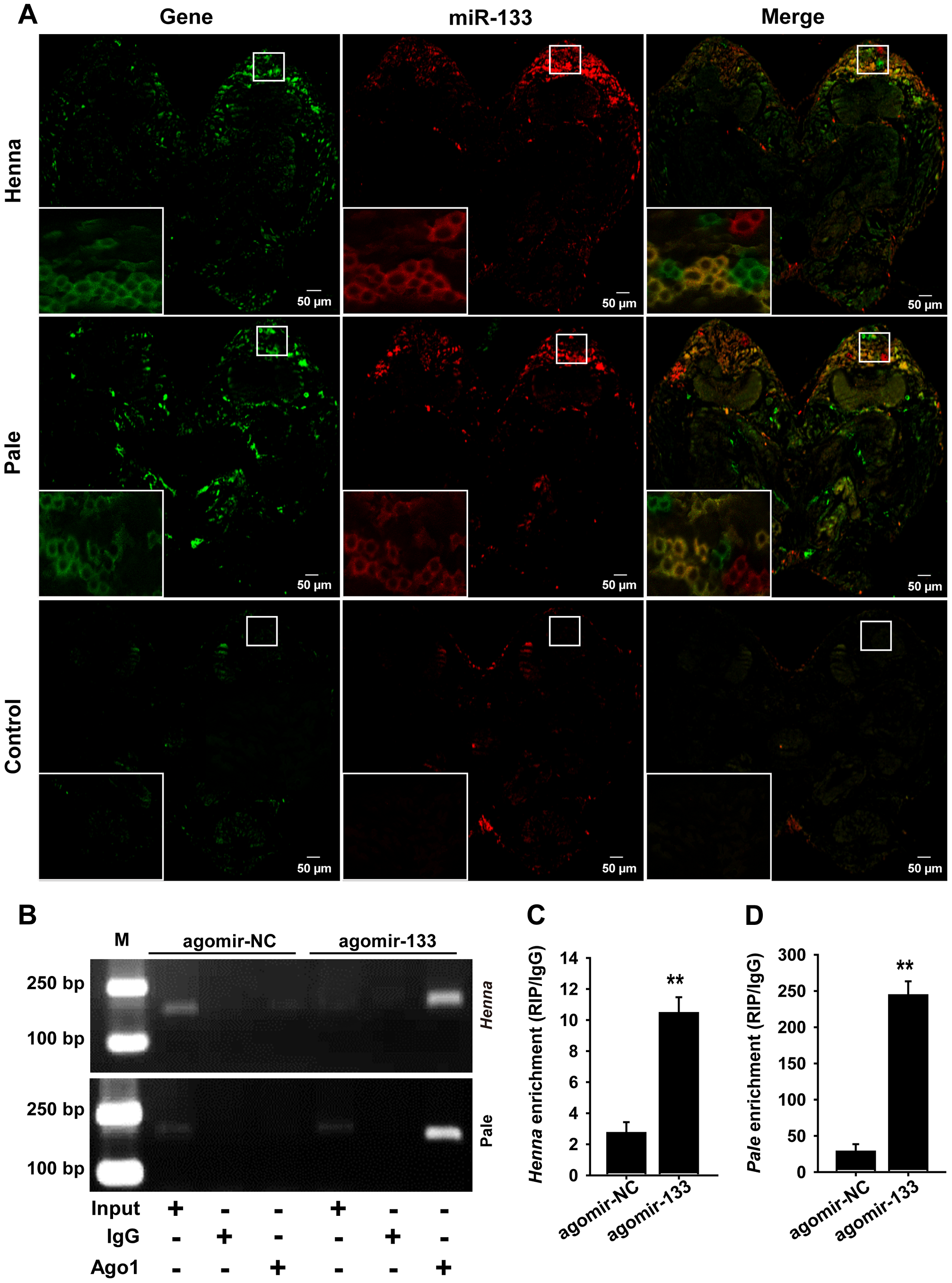 miR-133 can interact with <i>henna</i>/<i>pale</i> in the locust protocerebrum.
