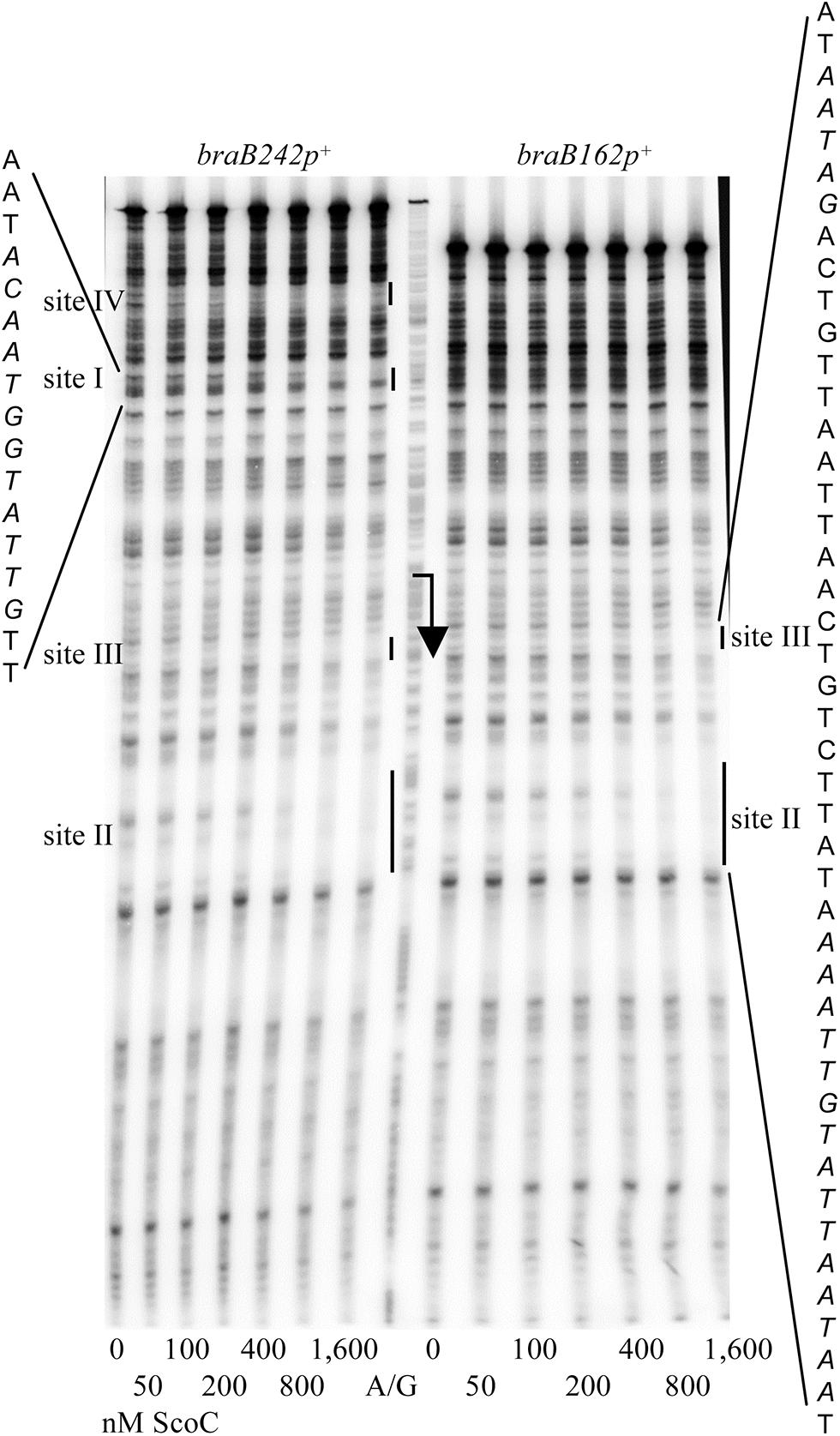 Determination of <i>braB</i> ScoC-binding regions.