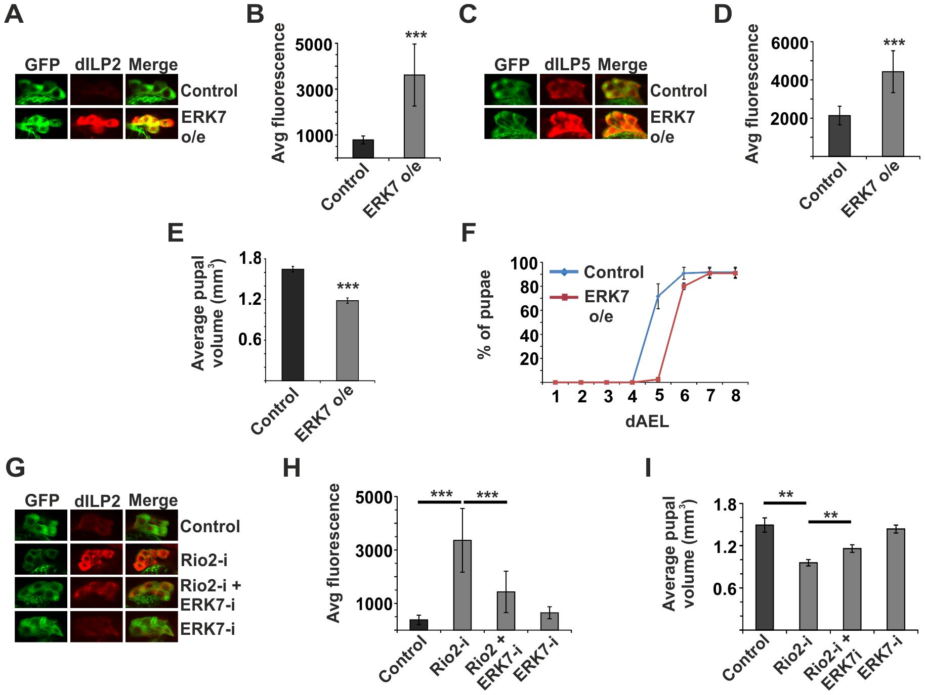 ERK7 mediates inhibition of dILP secretion upon disturbed ribosome biogenesis.