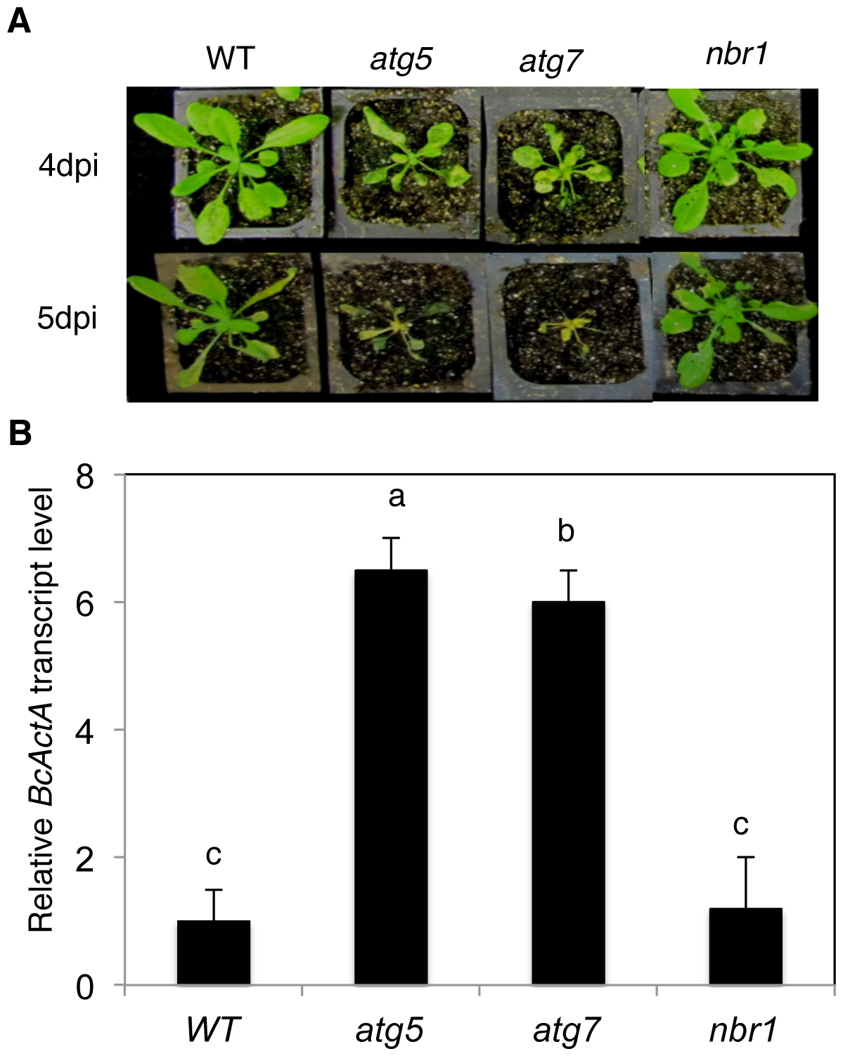 Normal phenotypes of the <i>nbr1</i> mutant plants in resistance to <i>Botrytis</i>.