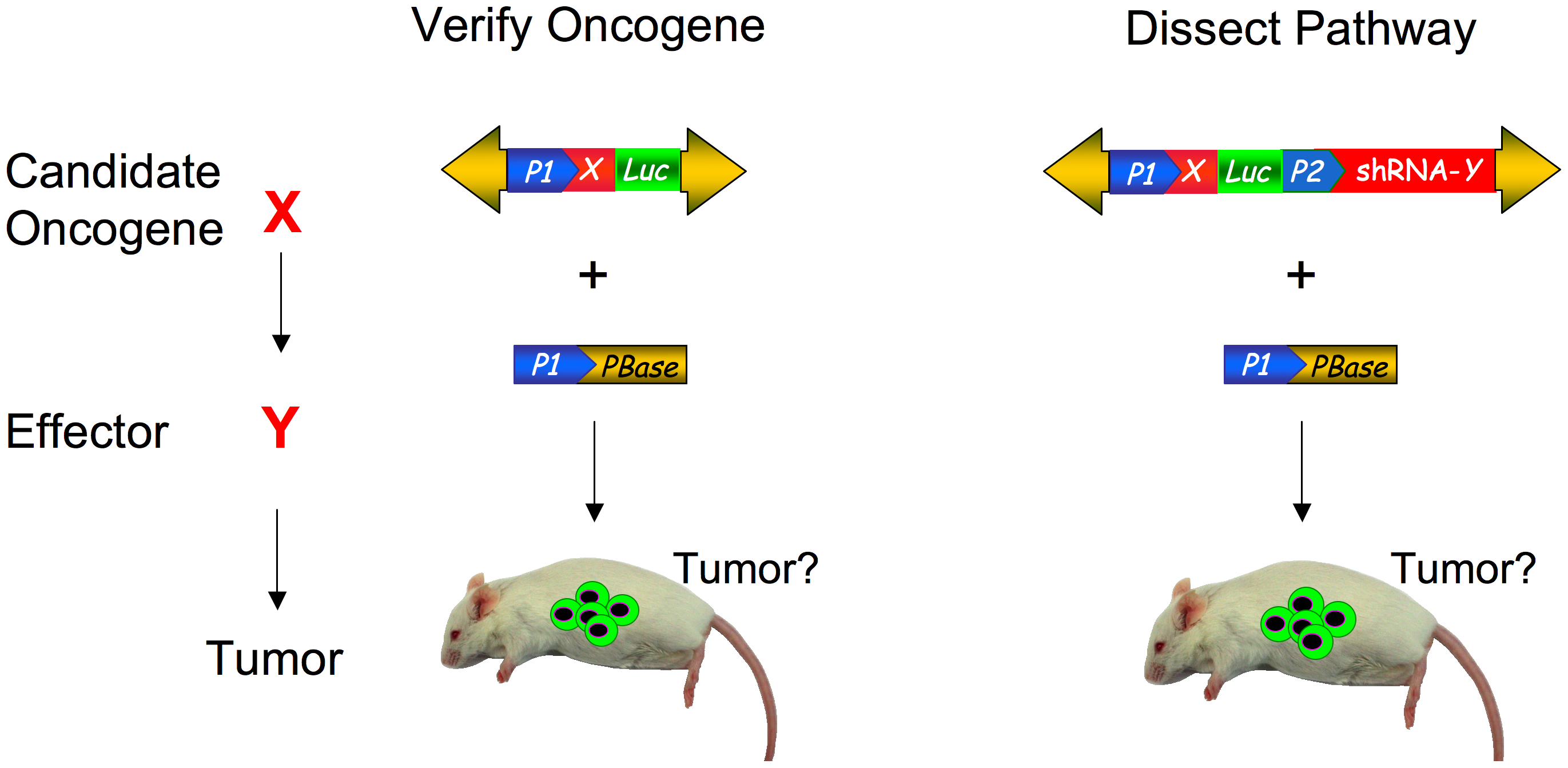 Somatic phenotypes like cancer can be modeled and genetically dissected with transposon mutagenesis.