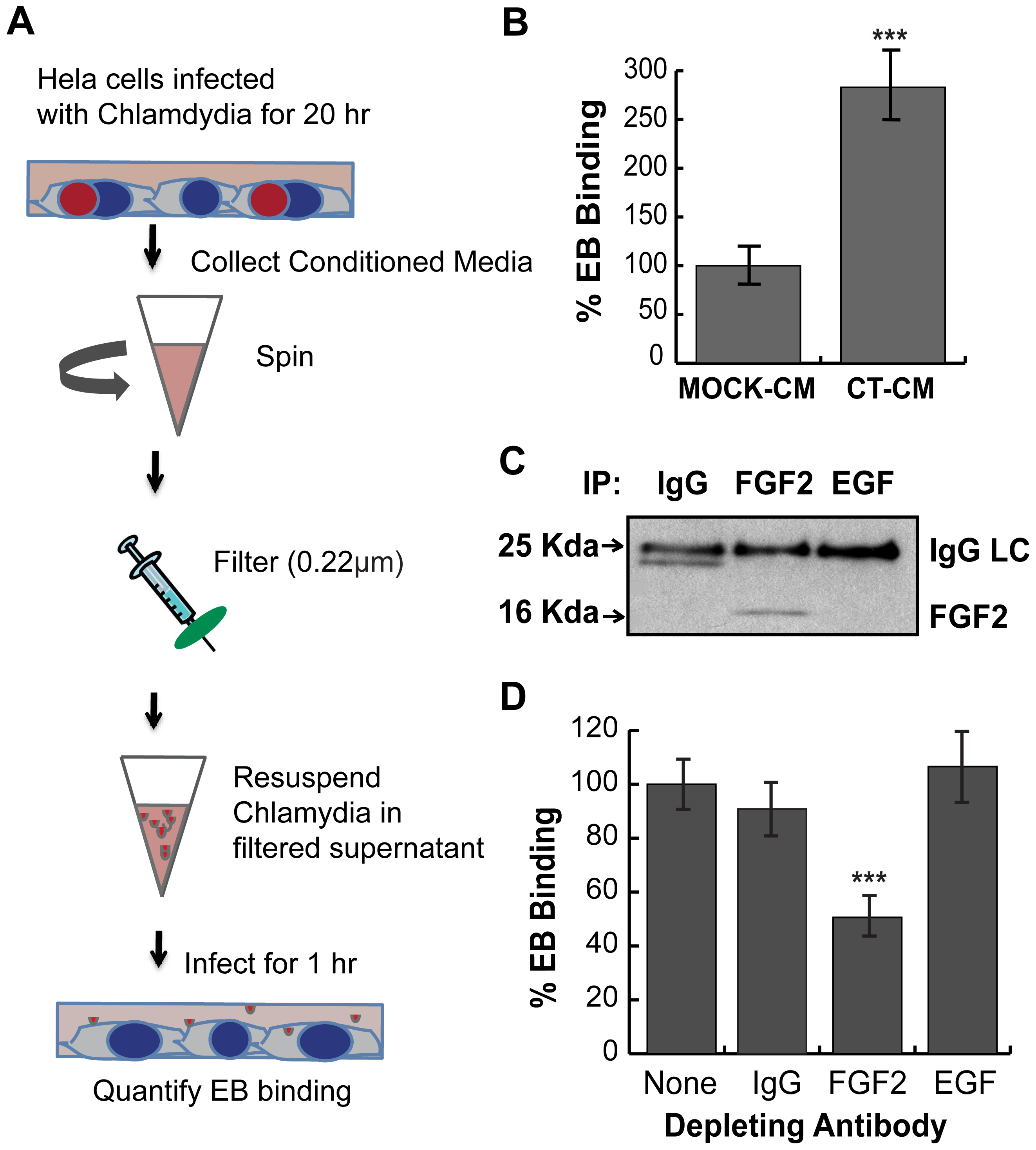 <i>C. trachomatis</i> L2-induced FGF2 facilitates secondary rounds of infection.