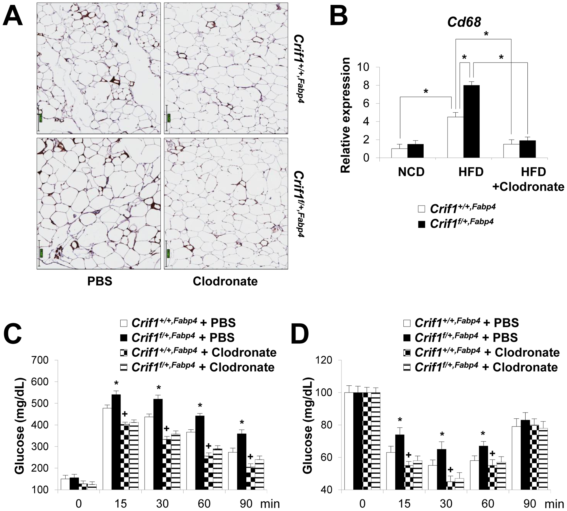 Depletion of macrophages in adipose tissue by clodronate.