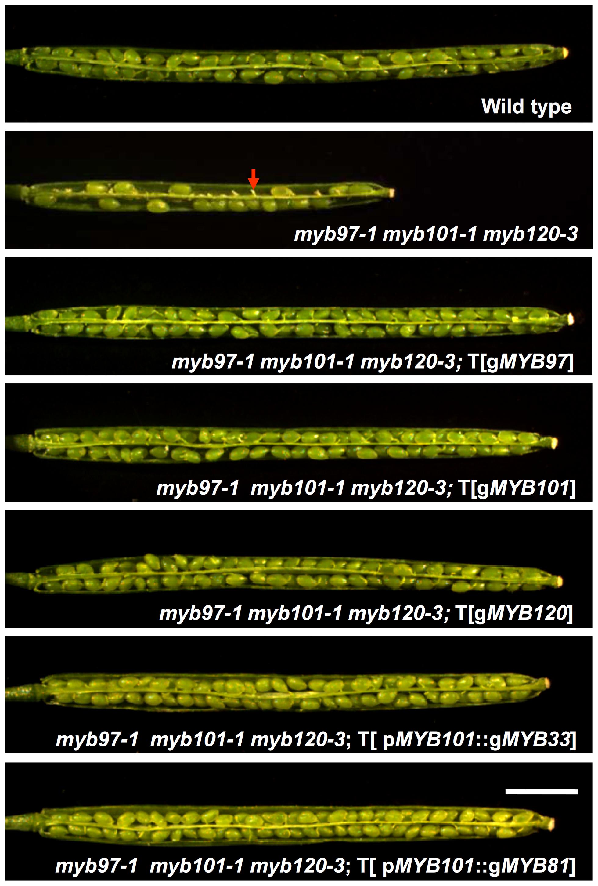Complementation of the <i>myb97-1 myb101-1 myb120-3</i> mutant.
