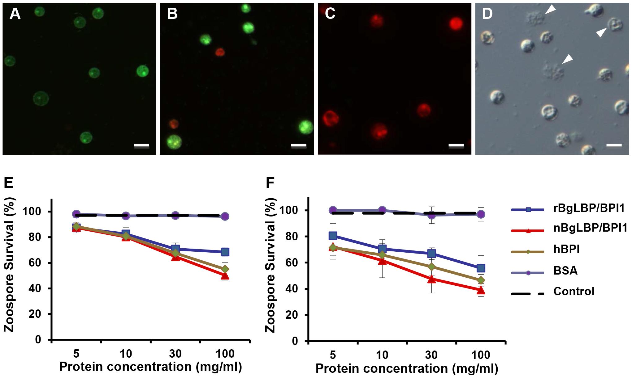 BgLBP/BPI1 and hBPI display anti-oomycete activity against <i>Saprolegnia parasitica</i> and <i>S. diclina</i>.
