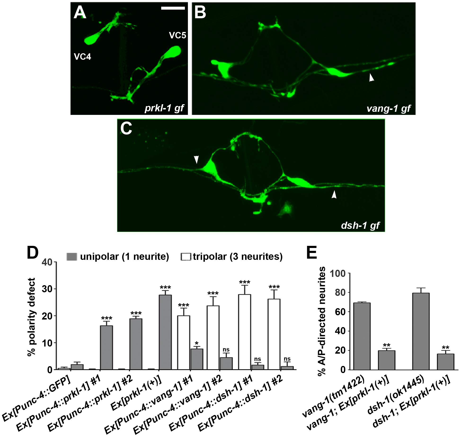 PRKL-1 is sufficient to suppress neurite formation in VC4 and VC5.
