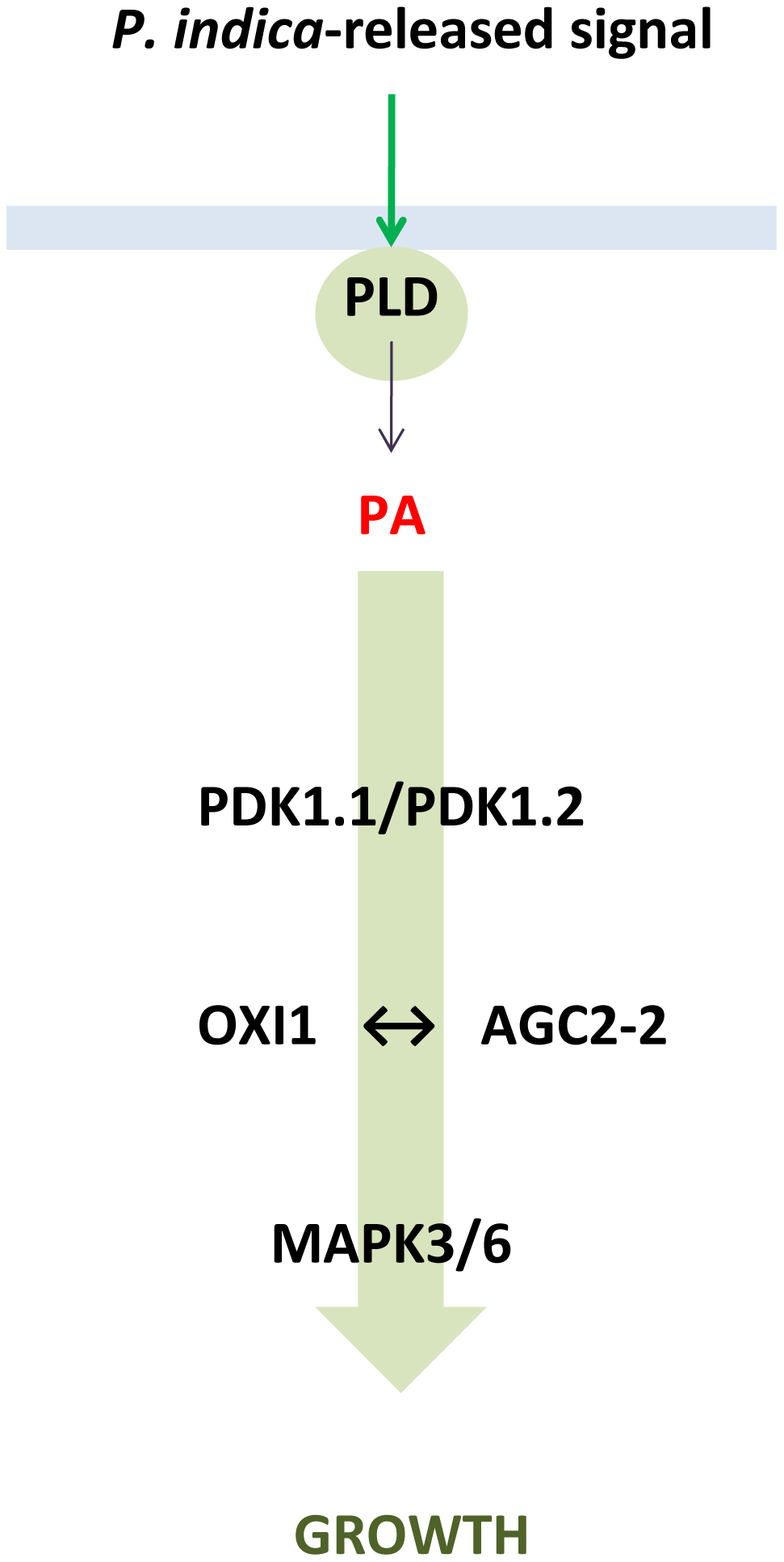 Proposed model describing the role of PLD, PA, AGC and MAP kinases in the beneficial interaction between <i>P. indica</i> and Arabidopsis.