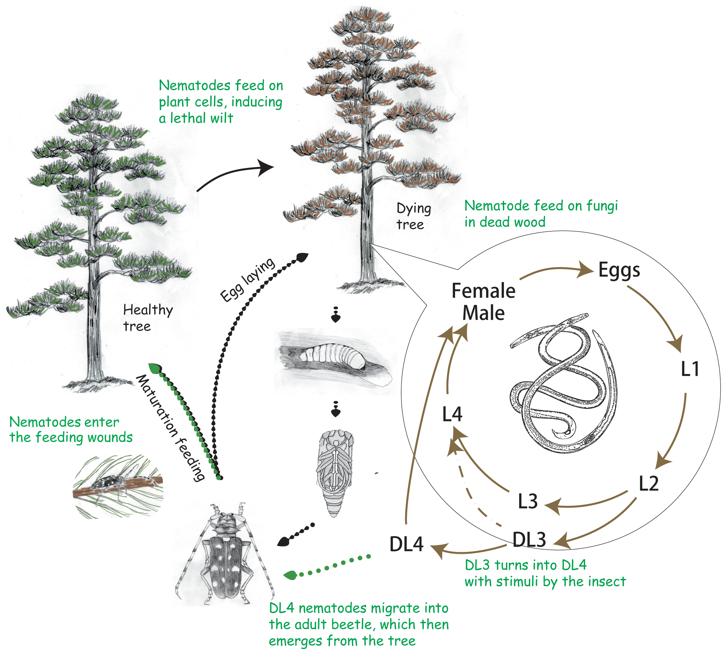The life cycle of the pine wood nematode <i>Bursaphelenchus xylophilus</i>.