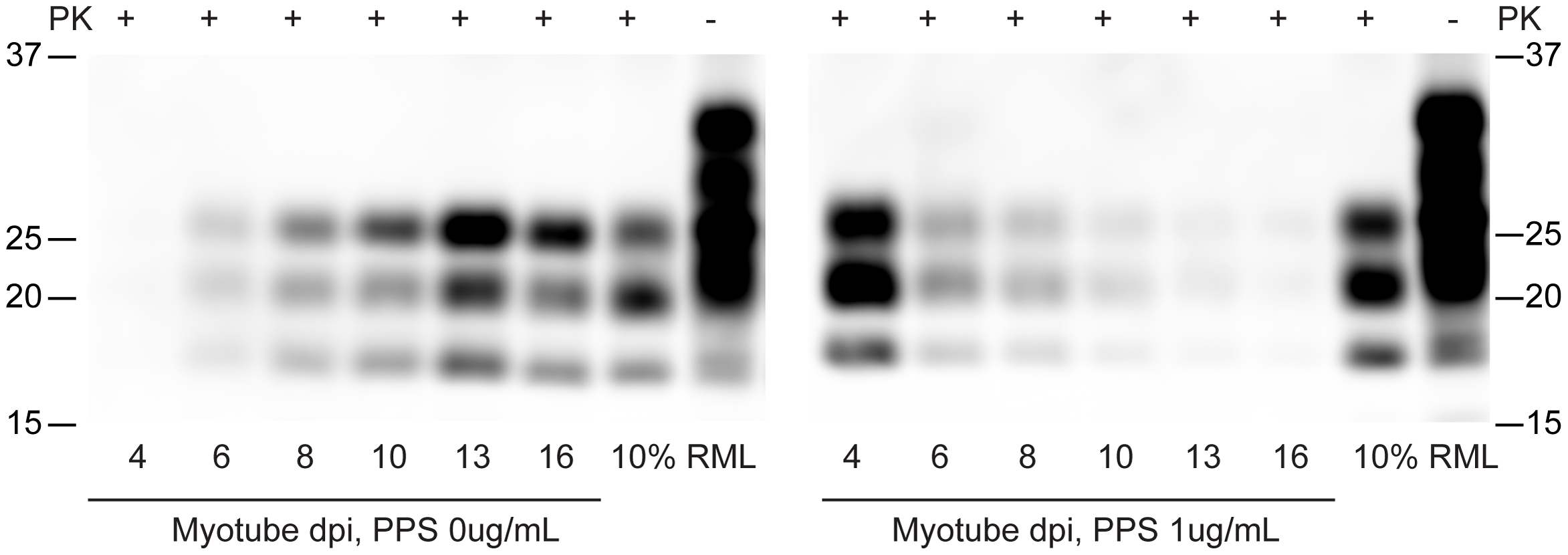 Pentosan polysulfate inhibits PrP<sup>Sc</sup> accumulation in C2C12 myotubes.